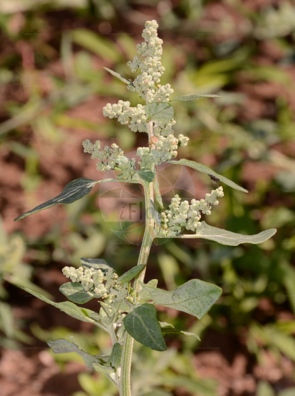 Foto von Chenopodium vulvaria (Stinkender Gaensefuss - Stinking Goosefoot). Das Foto wurde in Mainz, Rheinland-Pfalz, Deutschland aufgenommen. ---- Photo of Chenopodium vulvaria (Stinkender Gaensefuss - Stinking Goosefoot).The picture was taken in Mainz, Rhineland-Palatinate, Germany.(Chenopodium vulvaria,Stinkender Gaensefuss,Stinking Goosefoot,Chenopodium foetidum,Chenopodium olidum,,Chenopodium,Gaensefuss,Goosefoot,Amaranthaceae,Fuchsschwanzgewaechse,Pigweed family)