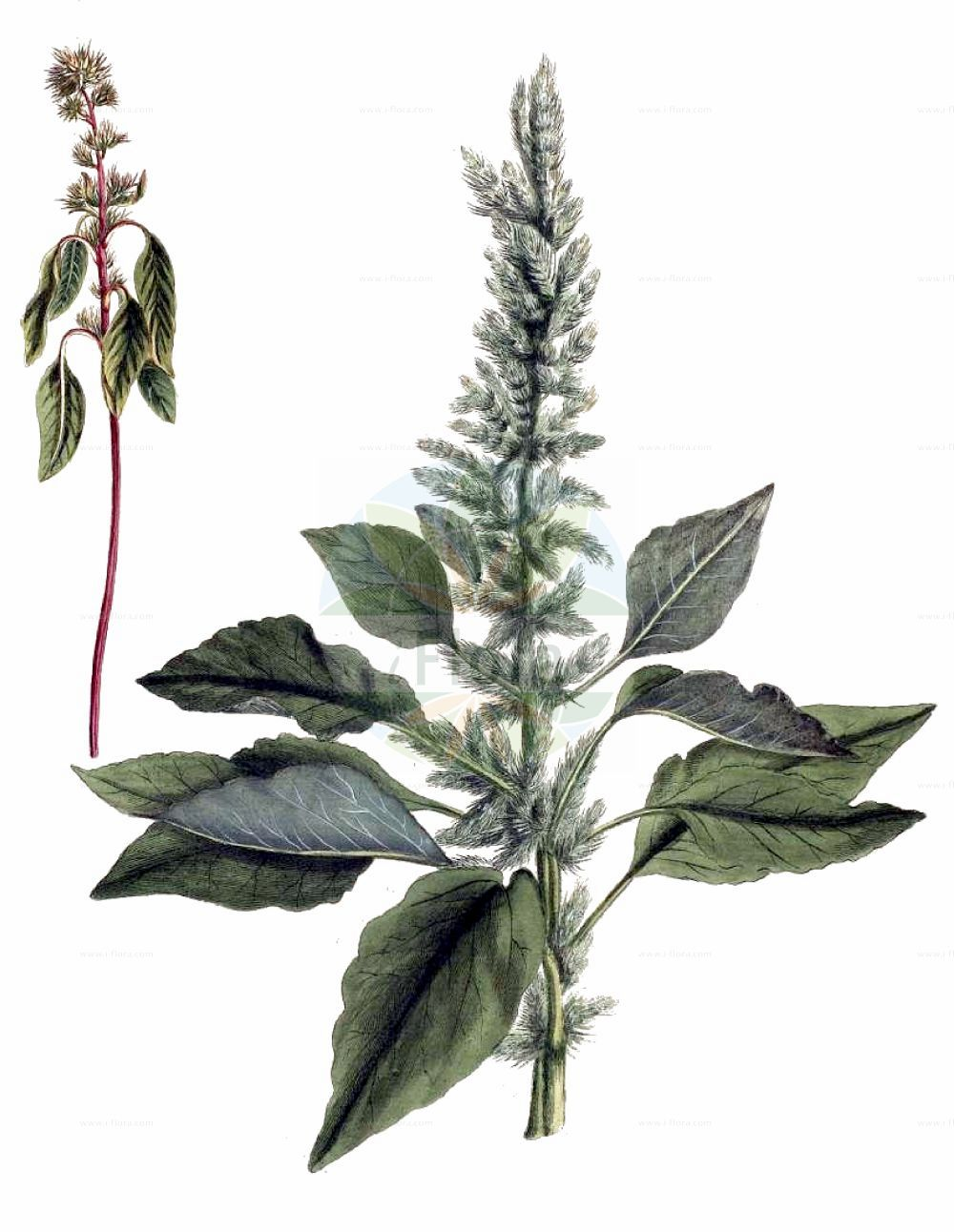 Historische Abbildung von Amaranthus retroflexus (Zurueckgekruemmter Fuchsschwanz - Common Amaranth). Das Bild zeigt Blatt, Bluete, Frucht und Same. ---- Historical Drawing of Amaranthus retroflexus (Zurueckgekruemmter Fuchsschwanz - Common Amaranth).The image is showing leaf, flower, fruit and seed.(Amaranthus retroflexus,Zurueckgekruemmter Fuchsschwanz,Common Amaranth,Amaranthus retroflexus,Amaranthus strictus,Galliaria retroflexa,Zurueckgekruemmter Fuchsschwanz,Zurueckgekruemmter Amarant,Common Amaranth,Careless Weed,Pigweed,Redroot,Redroot Amaranth,Redroot Pigweed,Slender Pigweed,Wild Amaranth,Amaranthus,Fuchsschwanz,Pigweed,Amaranthaceae,Fuchsschwanzgewaechse,Pigweed family,Blatt,Bluete,Frucht,Same,leaf,flower,fruit,seed,von Willdenow (1790))
