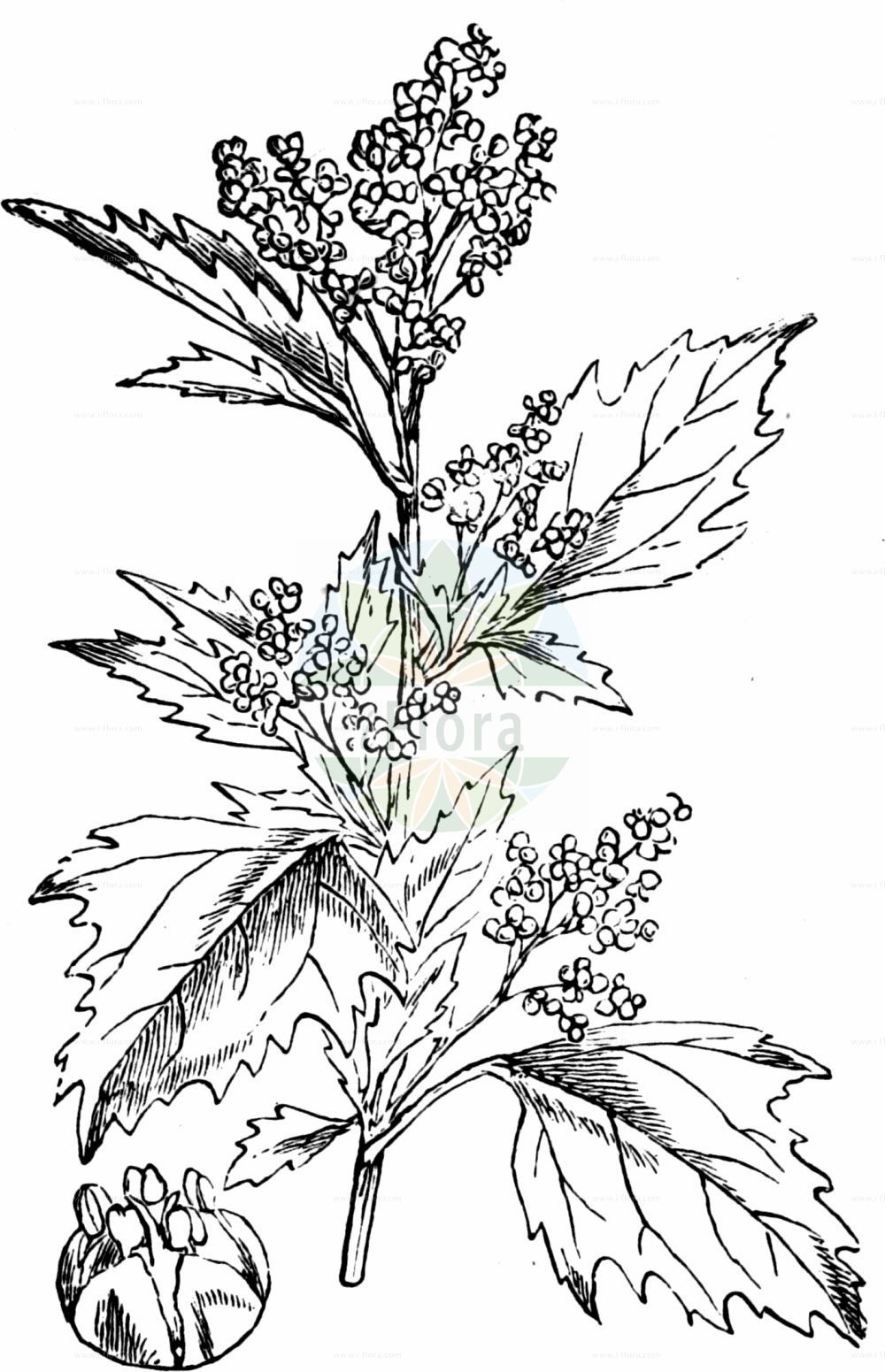 Historische Abbildung von Chenopodiastrum murale (Mauer-Gaensefuss - Nettle-leaved Goosefoot). Das Bild zeigt Blatt, Bluete, Frucht und Same. ---- Historical Drawing of Chenopodiastrum murale (Mauer-Gaensefuss - Nettle-leaved Goosefoot).The image is showing leaf, flower, fruit and seed.(Chenopodiastrum murale,Mauer-Gaensefuss,Nettle-leaved Goosefoot,Chenopodiastrum murale,Chenopodium murale,Mauer-Gaensefuss,Nettle-leaved Goosefoot,Nettle-leaf Goosefoot,Nettle-leaved Fat-Hen,Wall Goosefoot,Chenopodiastrum,Amaranthaceae,Fuchsschwanzgewaechse,Pigweed family,Blatt,Bluete,Frucht,Same,leaf,flower,fruit,seed,Fitch et al. (1880))