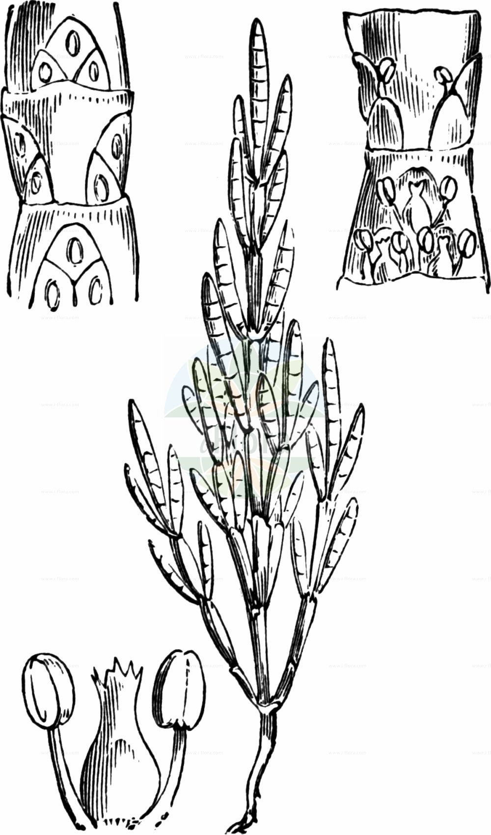 Historische Abbildung von Salicornia europaea (Europaeischer Queller - Common Glasswort). Das Bild zeigt Blatt, Bluete, Frucht und Same. ---- Historical Drawing of Salicornia europaea (Europaeischer Queller - Common Glasswort).The image is showing leaf, flower, fruit and seed.(Salicornia europaea,Europaeischer Queller,Common Glasswort,Salicornia annua,Salicornia europaea,Salicornia herbacea,Europaeischer Queller,Gewoehnlicher Queller,Kurzaehren-Queller,Queller,Common Glasswort,Purple Glasswort,Glaucous Glasswort,Red Swampfire,Slender Grasswort,Salicornia,Queller,Glassworts,Amaranthaceae,Fuchsschwanzgewaechse,Pigweed family,Blatt,Bluete,Frucht,Same,leaf,flower,fruit,seed,Fitch et al. (1880))