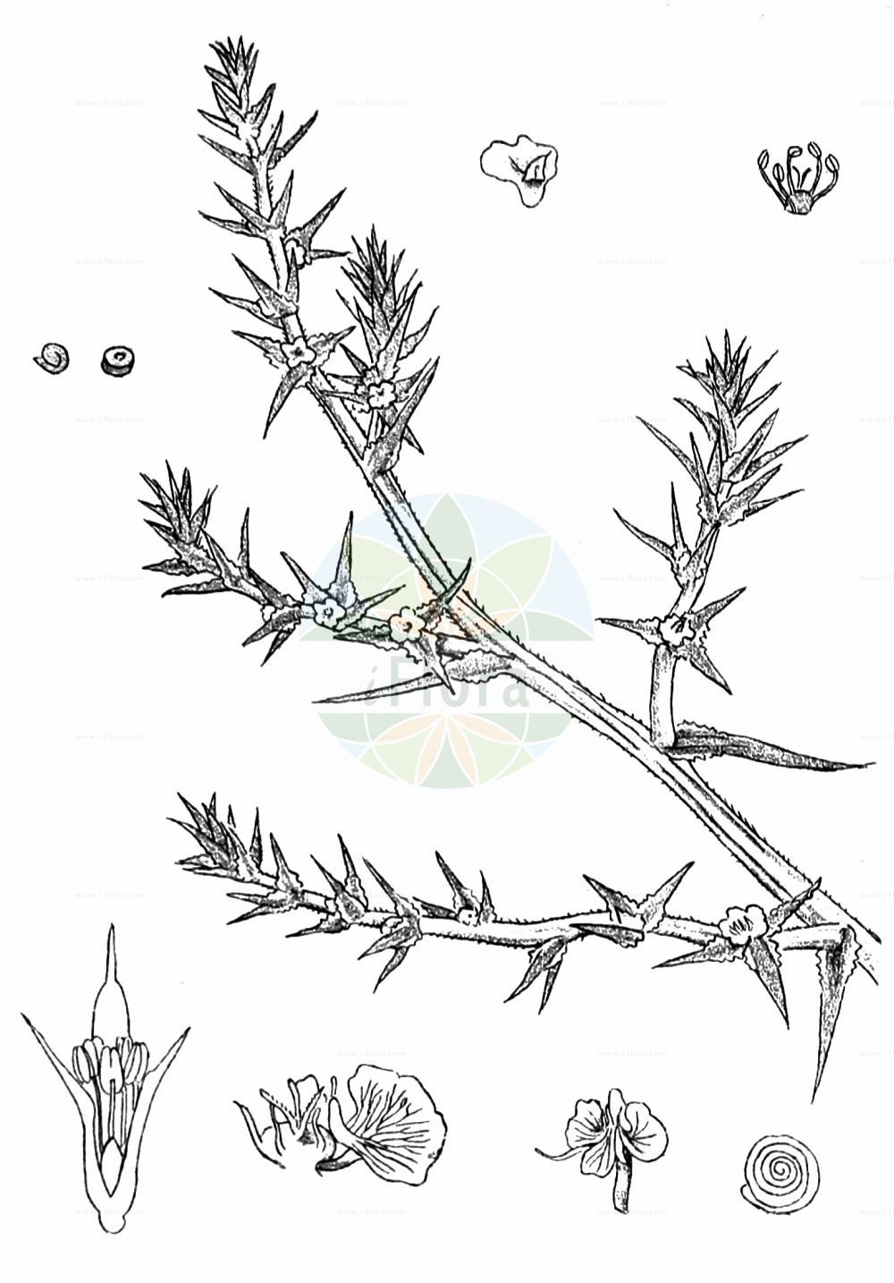 Historische Abbildung von Salsola kali (Gewoehnliches Kali-Salzkraut - Prickly Saltwort). Das Bild zeigt Blatt, Bluete, Frucht und Same. ---- Historical Drawing of Salsola kali (Gewoehnliches Kali-Salzkraut - Prickly Saltwort).The image is showing leaf, flower, fruit and seed.(Salsola kali,Gewoehnliches Kali-Salzkraut,Prickly Saltwort,Kali australis,Salsola kali,Gewoehnliches Kali-Salzkraut,Kuesten-Salzkraut,Ungarisches Salzkraut,Prickly Saltwort,Prickly Glasswort,Slender Russian Thistle,Prickly Russian Thistle,Roly-poly,Russian Thistle,Spiny Saltwort,Salsola,Salzkraut,Russian Thistle,Amaranthaceae,Fuchsschwanzgewaechse,Pigweed family,Blatt,Bluete,Frucht,Same,leaf,flower,fruit,seed,Kirtikar & Basu (1918))