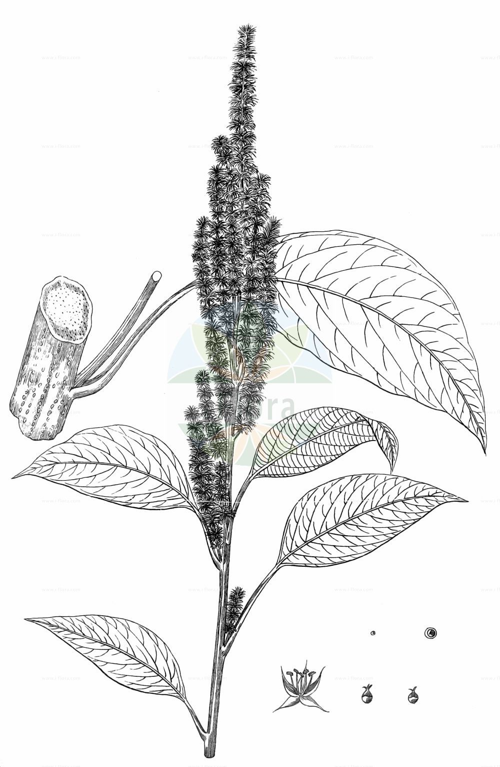 Historische Abbildung von Amaranthus cruentus. Das Bild zeigt Blatt, Bluete, Frucht und Same. ---- Historical Drawing of Amaranthus cruentus.The image is showing leaf, flower, fruit and seed.(Amaranthus cruentus,Amaranthus cruentus,Amaranthus paniculatus,Amaranthus paniculatus var. cruentus,Amaranthus,Fuchsschwanz,Pigweed,Amaranthaceae,Fuchsschwanzgewaechse,Pigweed family,Blatt,Bluete,Frucht,Same,leaf,flower,fruit,seed,Kirtikar & Basu (1918))