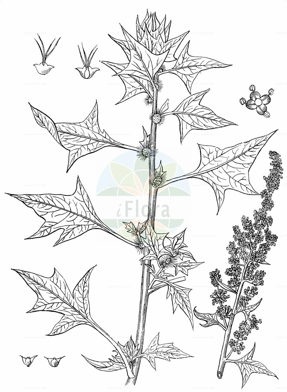 Historische Abbildung von Spinacia oleracea. Das Bild zeigt Blatt, Bluete, Frucht und Same. ---- Historical Drawing of Spinacia oleracea.The image is showing leaf, flower, fruit and seed.(Spinacia oleracea,Spinacia glabra,Spinacia inermis,Spinacia oleracea,Spinacia spinosa,Spinacia,Amaranthaceae,Fuchsschwanzgewaechse,Pigweed family,Blatt,Bluete,Frucht,Same,leaf,flower,fruit,seed,Kirtikar & Basu (1918))