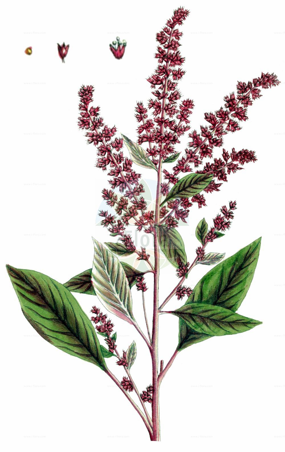 Historische Abbildung von Amaranthus hypochondriacus. Das Bild zeigt Blatt, Bluete, Frucht und Same. ---- Historical Drawing of Amaranthus hypochondriacus.The image is showing leaf, flower, fruit and seed.(Amaranthus hypochondriacus,Amaranthus hypochondriacus,Amaranthus,Fuchsschwanz,Pigweed,Amaranthaceae,Fuchsschwanzgewaechse,Pigweed family,Blatt,Bluete,Frucht,Same,leaf,flower,fruit,seed,Blackwell (1737-1739))