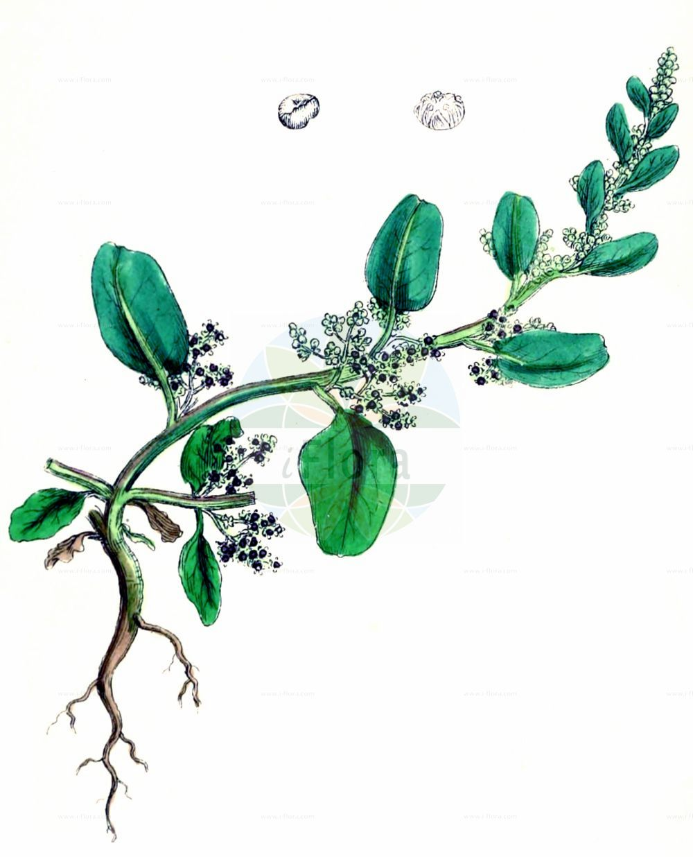Historische Abbildung von Lipandra polysperma (Vielsamiger Gaensefuss - Many-seeded Goosefoot). Das Bild zeigt Blatt, Bluete, Frucht und Same. ---- Historical Drawing of Lipandra polysperma (Vielsamiger Gaensefuss - Many-seeded Goosefoot).The image is showing leaf, flower, fruit and seed.(Lipandra polysperma,Vielsamiger Gaensefuss,Many-seeded Goosefoot,Chenopodium acutifolium,Chenopodium polyspermum,Lipandra polysperma,Vielsamiger Gaensefuss,Many-seeded Goosefoot,Allseed,Manyseed Goosefoot,Lipandra,Amaranthaceae,Fuchsschwanzgewaechse,Pigweed family,Blatt,Bluete,Frucht,Same,leaf,flower,fruit,seed,Sowerby (1790-1813))
