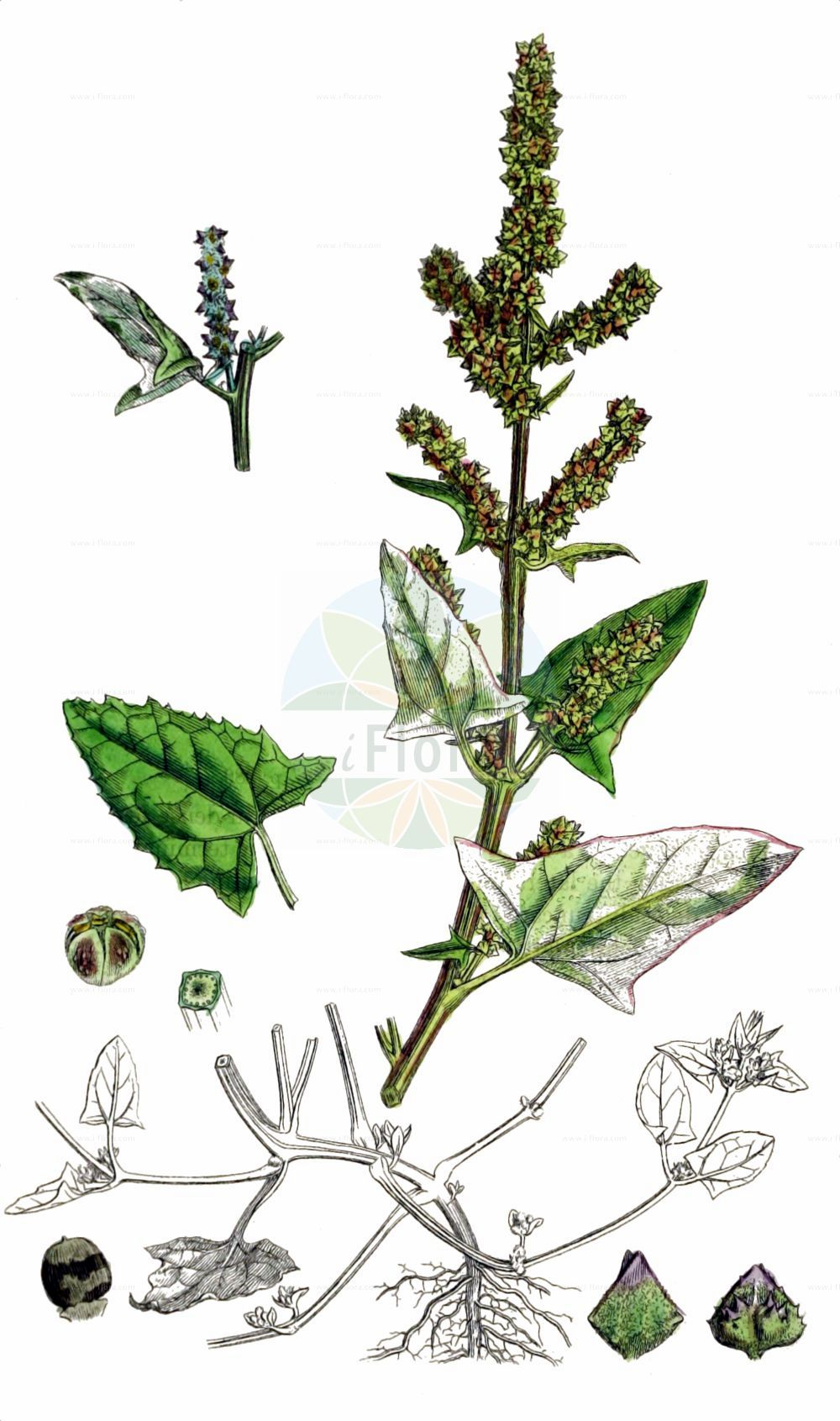 Historische Abbildung von Atriplex prostrata (Spiess-Melde - Spear-leaved Orache). Das Bild zeigt Blatt, Bluete, Frucht und Same. ---- Historical Drawing of Atriplex prostrata (Spiess-Melde - Spear-leaved Orache).The image is showing leaf, flower, fruit and seed.(Atriplex prostrata,Spiess-Melde,Spear-leaved Orache,Atriplex deltoidea,Atriplex latifolia,Atriplex oppositifolia,Atriplex platysepala,Atriplex polonica,Atriplex prostrata,Atriplex triangularis,Spiess-Melde,Spiessblaettrige Melde,Spear-leaved Orache,Hastate Orache,Halberd-leaf Orache,Thin-leaved Orache,Mountain Spinach,Triangle Orache,Wild Orache,Atriplex,Melde,Saltbush,Amaranthaceae,Fuchsschwanzgewaechse,Pigweed family,Blatt,Bluete,Frucht,Same,leaf,flower,fruit,seed,Sowerby (1790-1813))