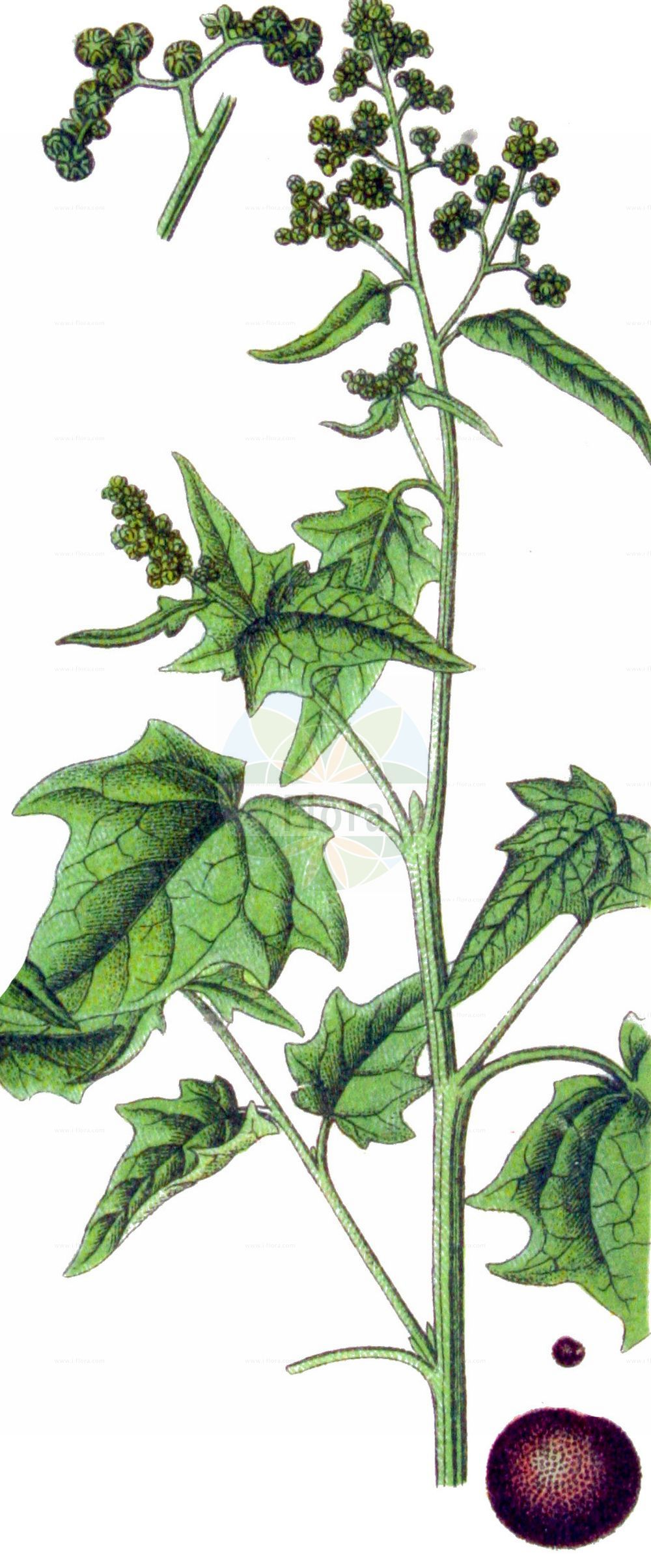 Historische Abbildung von Chenopodiastrum hybridum (Breitblaettriger Gaensefuss - Maple-leaved Goosefoot). Das Bild zeigt Blatt, Bluete, Frucht und Same. ---- Historical Drawing of Chenopodiastrum hybridum (Breitblaettriger Gaensefuss - Maple-leaved Goosefoot).The image is showing leaf, flower, fruit and seed.(Chenopodiastrum hybridum,Breitblaettriger Gaensefuss,Maple-leaved Goosefoot,Chenopodiastrum hybridum,Chenopodium angulosum,Chenopodium hybridum,Breitblaettriger Gaensefuss,Bastard-Gaensefuss,Sautod-Gaensefuss,Stechapfelblaettriger Gaensefuss,Maple-leaved Goosefoot,Bigseed Goosefoot,Maple-leaf Goosefoot,Sowbane,Chenopodiastrum,Amaranthaceae,Fuchsschwanzgewaechse,Pigweed family,Blatt,Bluete,Frucht,Same,leaf,flower,fruit,seed,Sturm (1796f))