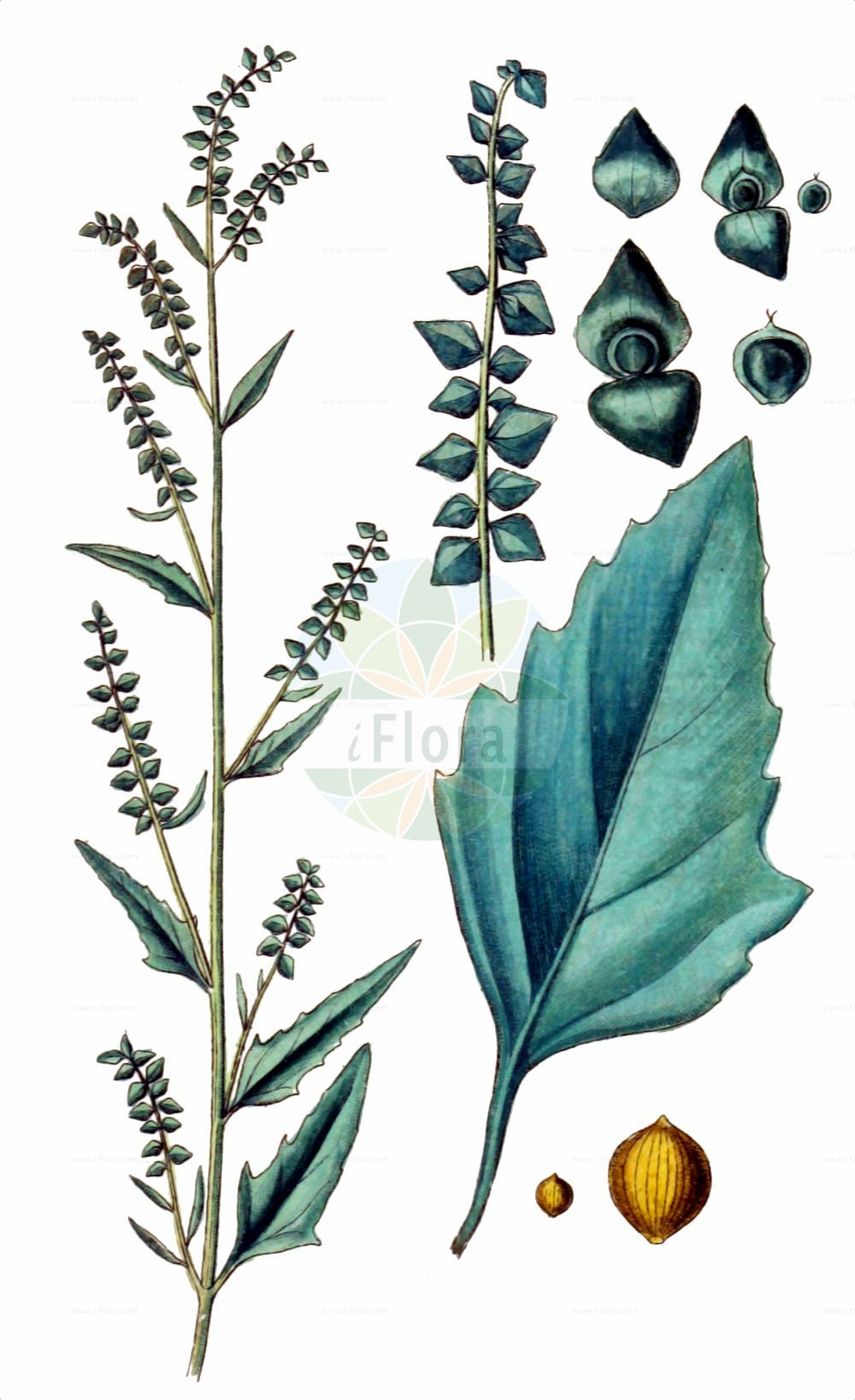 Historische Abbildung von Atriplex oblongifolia (Langblaettrige Melde - Oblongleaf Orache). Das Bild zeigt Blatt, Bluete, Frucht und Same. ---- Historical Drawing of Atriplex oblongifolia (Langblaettrige Melde - Oblongleaf Orache).The image is showing leaf, flower, fruit and seed.(Atriplex oblongifolia,Langblaettrige Melde,Oblongleaf Orache,Atriplex oblongifolia,Langblaettrige Melde,Oblongleaf Orache,Atriplex,Melde,Saltbush,Amaranthaceae,Fuchsschwanzgewaechse,Pigweed family,Blatt,Bluete,Frucht,Same,leaf,flower,fruit,seed,Sturm (1796f))