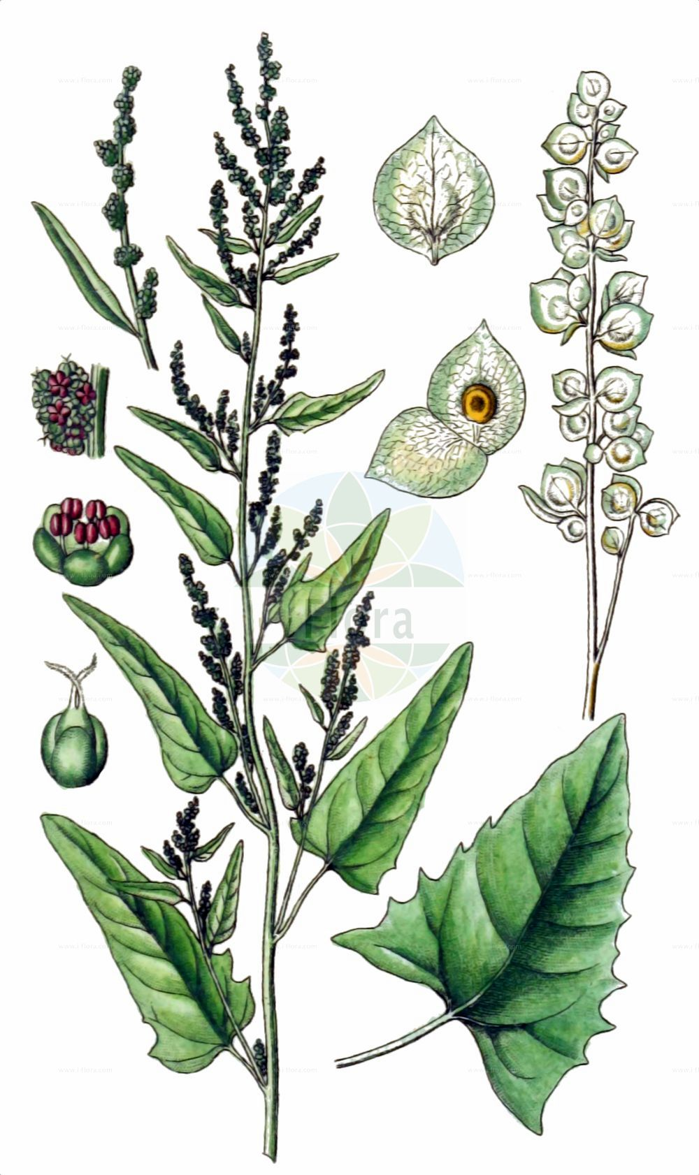 Historische Abbildung von Atriplex hortensis (Garten-Melde - Garden Orache). Das Bild zeigt Blatt, Bluete, Frucht und Same. ---- Historical Drawing of Atriplex hortensis (Garten-Melde - Garden Orache).The image is showing leaf, flower, fruit and seed.(Atriplex hortensis,Garten-Melde,Garden Orache,Atriplex hortensis,Atriplex microtheca,Garten-Melde,Garden Orache,Atriplex,Melde,Saltbush,Amaranthaceae,Fuchsschwanzgewaechse,Pigweed family,Blatt,Bluete,Frucht,Same,leaf,flower,fruit,seed,Sturm (1796f))