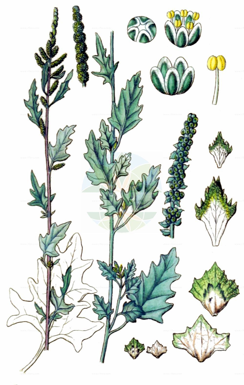Historische Abbildung von Atriplex laciniata (Gelappte Melde - Frosted Orache). Das Bild zeigt Blatt, Bluete, Frucht und Same. ---- Historical Drawing of Atriplex laciniata (Gelappte Melde - Frosted Orache).The image is showing leaf, flower, fruit and seed.(Atriplex laciniata,Gelappte Melde,Frosted Orache,Atriplex arenaria,Atriplex laciniata,Atriplex maritima,Atriplex sabulosa,Gelappte Melde,Frosted Orache,Atriplex,Melde,Saltbush,Amaranthaceae,Fuchsschwanzgewaechse,Pigweed family,Blatt,Bluete,Frucht,Same,leaf,flower,fruit,seed,Sturm (1796f))