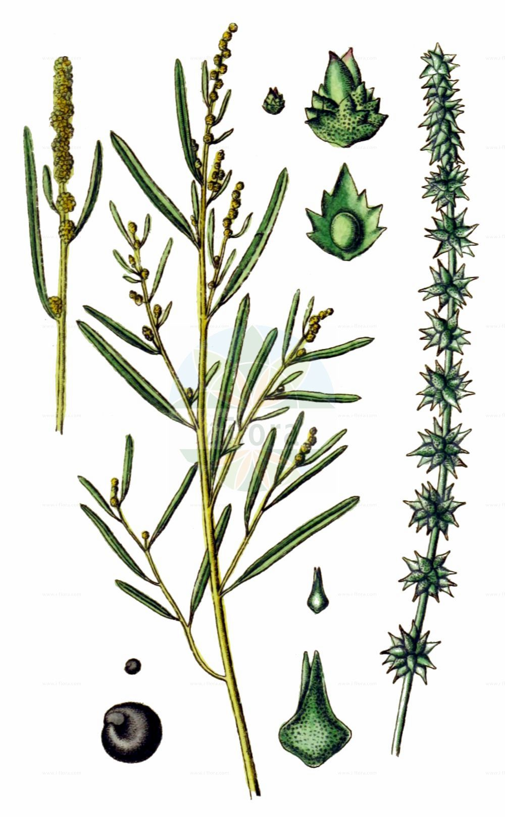 Historische Abbildung von Atriplex littoralis (Strand-Melde - Grass-leaved Orache). Das Bild zeigt Blatt, Bluete, Frucht und Same. ---- Historical Drawing of Atriplex littoralis (Strand-Melde - Grass-leaved Orache).The image is showing leaf, flower, fruit and seed.(Atriplex littoralis,Strand-Melde,Grass-leaved Orache,Atriplex littoralis,Atriplex serrata,Strand-Melde,Grass-leaved Orache,Crested Saltbush,Grassleaf Orache,Shore Orache,Atriplex,Melde,Saltbush,Amaranthaceae,Fuchsschwanzgewaechse,Pigweed family,Blatt,Bluete,Frucht,Same,leaf,flower,fruit,seed,Sturm (1796f))