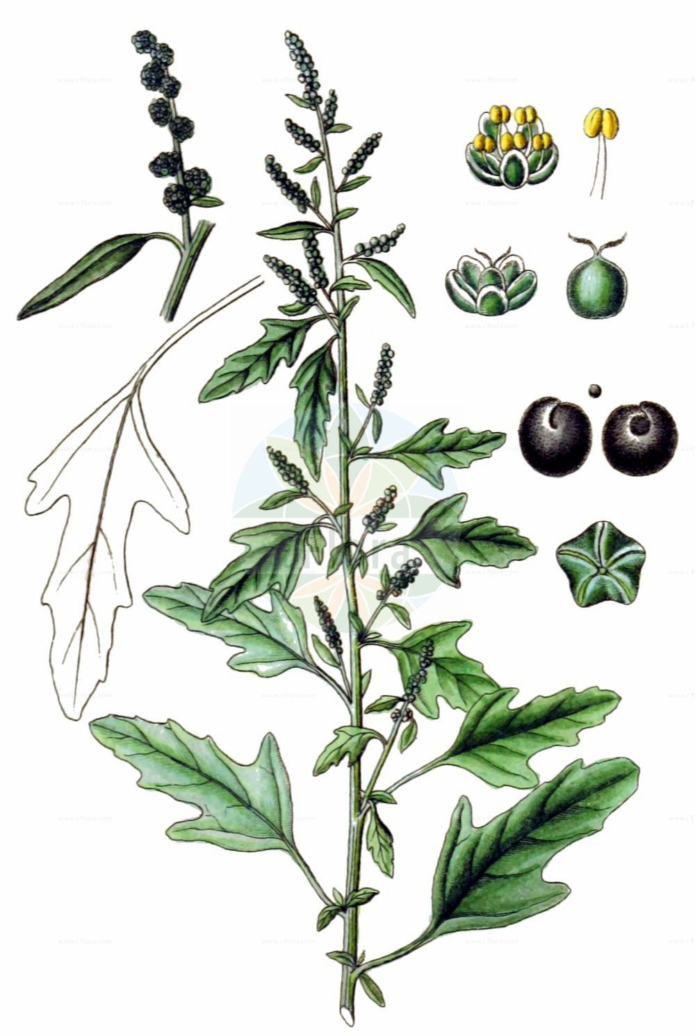 Historische Abbildung von Chenopodium ficifolium (Feigenblaettriger Gaensefuss - Fig-leaved Goosefoot). Das Bild zeigt Blatt, Bluete, Frucht und Same. ---- Historical Drawing of Chenopodium ficifolium (Feigenblaettriger Gaensefuss - Fig-leaved Goosefoot).The image is showing leaf, flower, fruit and seed.(Chenopodium ficifolium,Feigenblaettriger Gaensefuss,Fig-leaved Goosefoot,Chenopodium ficifolium,Feigenblaettriger Gaensefuss,Fig-leaved Goosefoot,Figleaf Goosefoot,Chenopodium,Gaensefuss,Goosefoot,Amaranthaceae,Fuchsschwanzgewaechse,Pigweed family,Blatt,Bluete,Frucht,Same,leaf,flower,fruit,seed,Sturm (1796f))