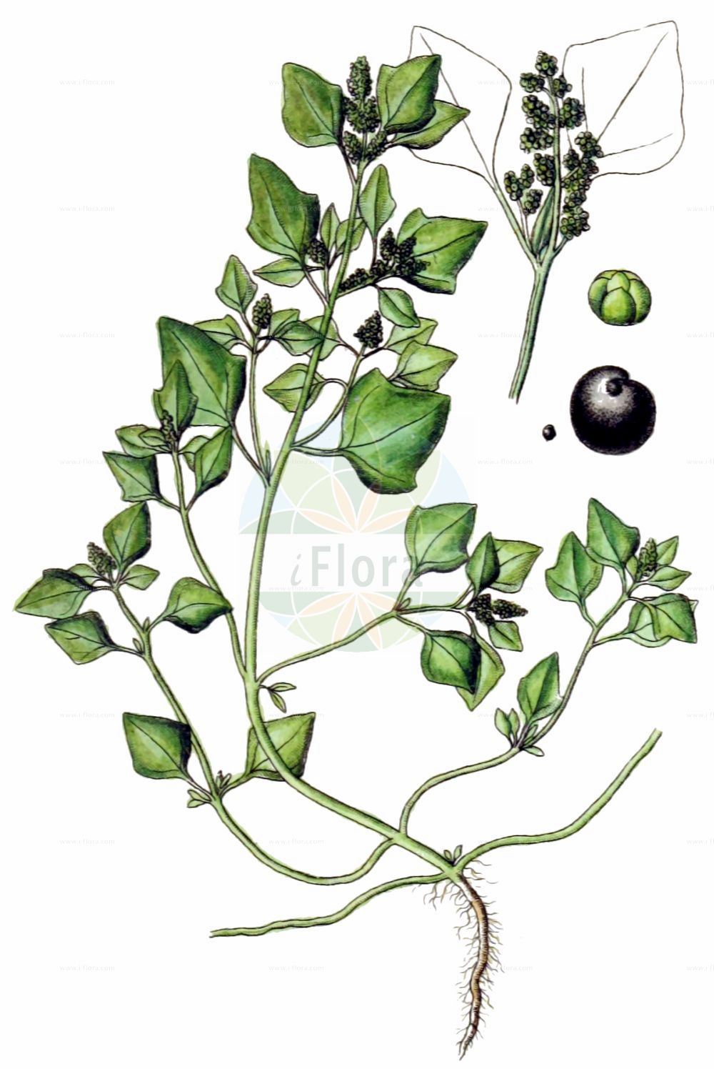 Historische Abbildung von Chenopodium vulvaria (Stinkender Gaensefuss - Stinking Goosefoot). Das Bild zeigt Blatt, Bluete, Frucht und Same. ---- Historical Drawing of Chenopodium vulvaria (Stinkender Gaensefuss - Stinking Goosefoot).The image is showing leaf, flower, fruit and seed.(Chenopodium vulvaria,Stinkender Gaensefuss,Stinking Goosefoot,Chenopodium foetidum,Chenopodium olidum,Chenopodium vulvaria,Stinkender Gaensefuss,Stinking Goosefoot,Chenopodium,Gaensefuss,Goosefoot,Amaranthaceae,Fuchsschwanzgewaechse,Pigweed family,Blatt,Bluete,Frucht,Same,leaf,flower,fruit,seed,Sturm (1796f))