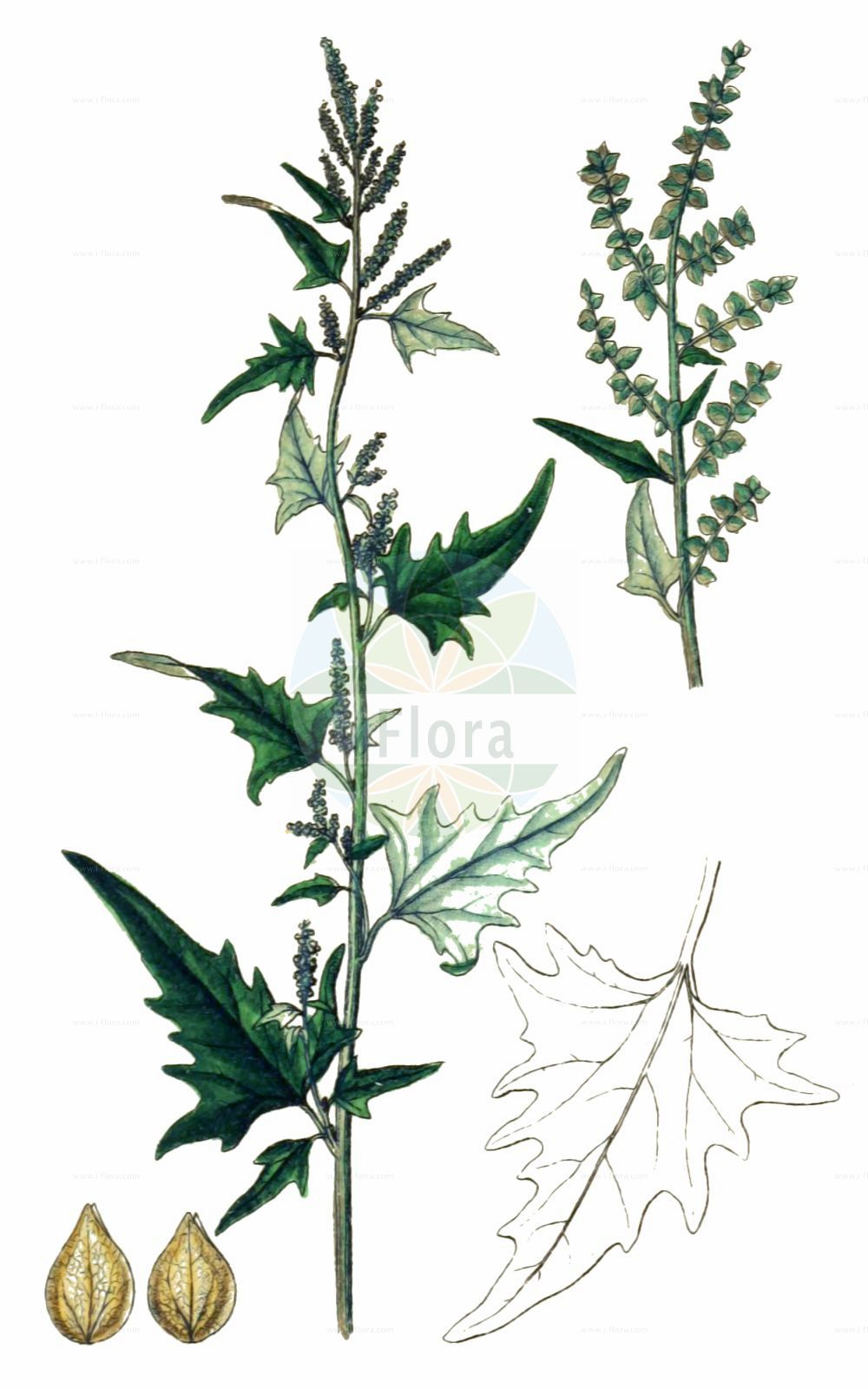 Historische Abbildung von Atriplex sagittata (Glanz-Melde - Purple Orache). Das Bild zeigt Blatt, Bluete, Frucht und Same. ---- Historical Drawing of Atriplex sagittata (Glanz-Melde - Purple Orache).The image is showing leaf, flower, fruit and seed.(Atriplex sagittata,Glanz-Melde,Purple Orache,Atriplex acuminata,Atriplex nitens,Atriplex sagittata,Glanz-Melde,Purple Orache,Atriplex,Melde,Saltbush,Amaranthaceae,Fuchsschwanzgewaechse,Pigweed family,Blatt,Bluete,Frucht,Same,leaf,flower,fruit,seed,Sturm (1796f))