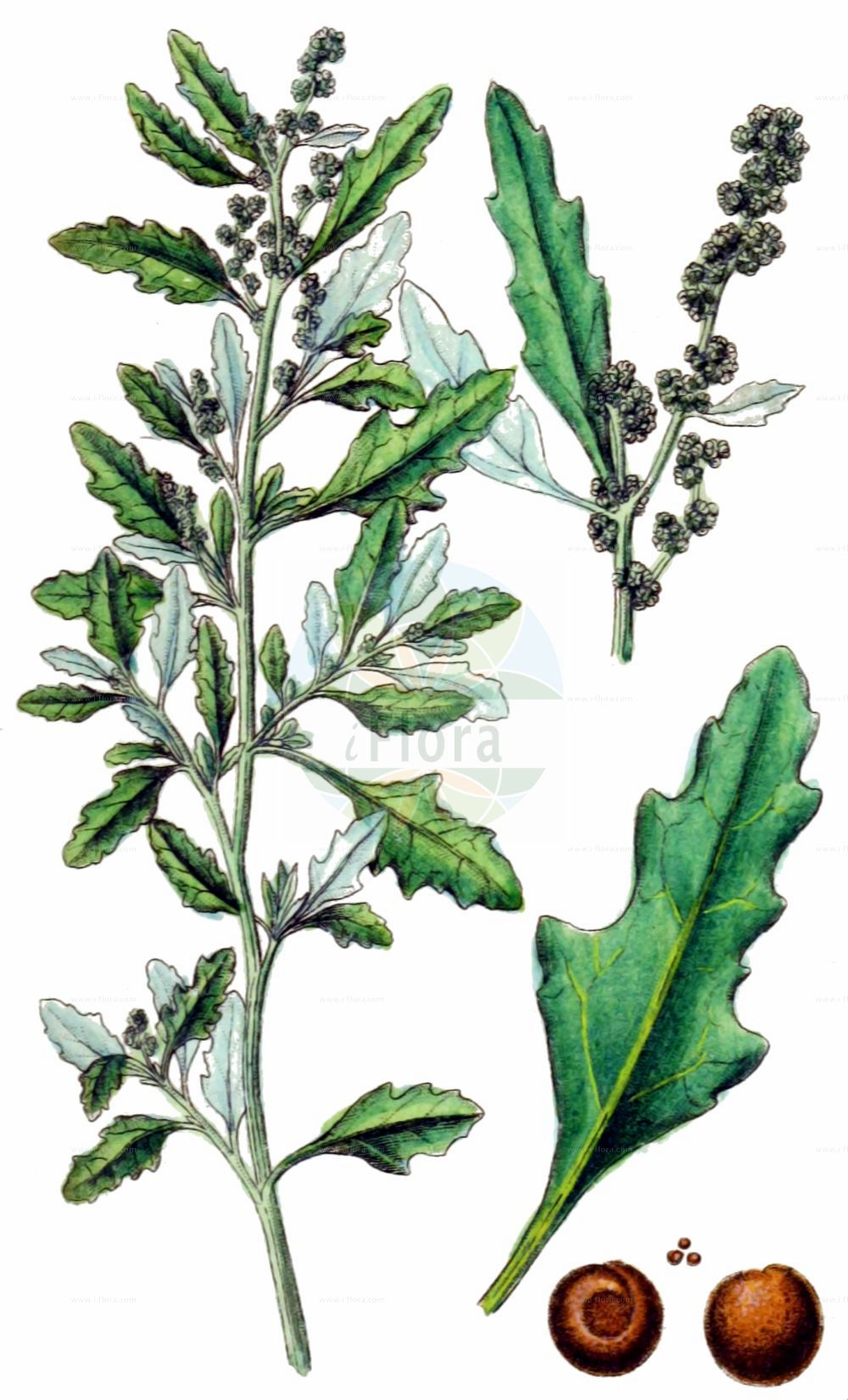Historische Abbildung von Oxybasis glauca (Graugruener Gaensefuss - Oak-leaved Goosefoot). Das Bild zeigt Blatt, Bluete, Frucht und Same. ---- Historical Drawing of Oxybasis glauca (Graugruener Gaensefuss - Oak-leaved Goosefoot).The image is showing leaf, flower, fruit and seed.(Oxybasis glauca,Graugruener Gaensefuss,Oak-leaved Goosefoot,Chenopodium glaucum,Chenopodium wolffii,Oxybasis glauca,Graugruener Gaensefuss,Grauer Gaensefuss,Oak-leaved Goosefoot,Glaucous Goosefoot,Oak-leaf Goosefoot,Oxybasis,Amaranthaceae,Fuchsschwanzgewaechse,Pigweed family,Blatt,Bluete,Frucht,Same,leaf,flower,fruit,seed,Sturm (1796f))