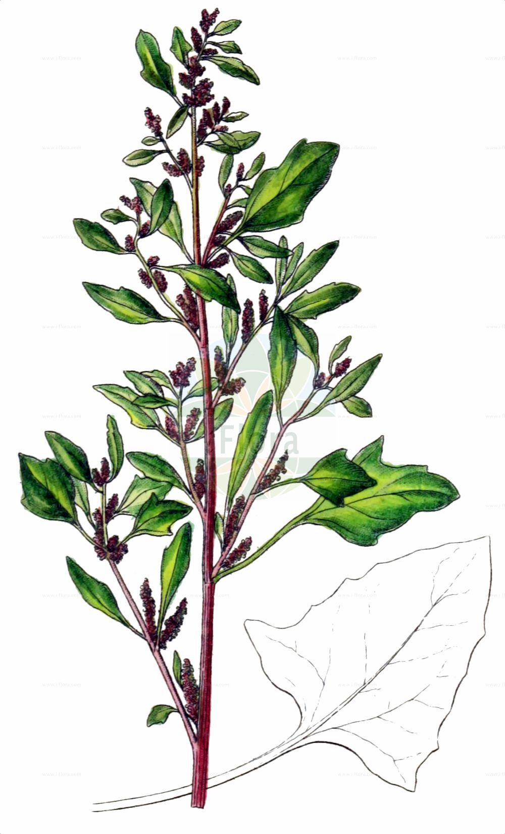 Historische Abbildung von Oxybasis chenopodioides (Dickblaettriger Gaensefuss - Saltmarsh Goosefoot). Das Bild zeigt Blatt, Bluete, Frucht und Same. ---- Historical Drawing of Oxybasis chenopodioides (Dickblaettriger Gaensefuss - Saltmarsh Goosefoot).The image is showing leaf, flower, fruit and seed.(Oxybasis chenopodioides,Dickblaettriger Gaensefuss,Saltmarsh Goosefoot,Blitum chenopodioides,Chenopodium botryodes,Chenopodium chenopodioides,Chenopodium crassifolium,Oxybasis chenopodioides,Dickblaettriger Gaensefuss,Dickblatt-Gaensefuss,Saltmarsh Goosefoot,Low Goosefoot,Sea Goosefoot,Oxybasis,Amaranthaceae,Fuchsschwanzgewaechse,Pigweed family,Blatt,Bluete,Frucht,Same,leaf,flower,fruit,seed,Sturm (1796f))