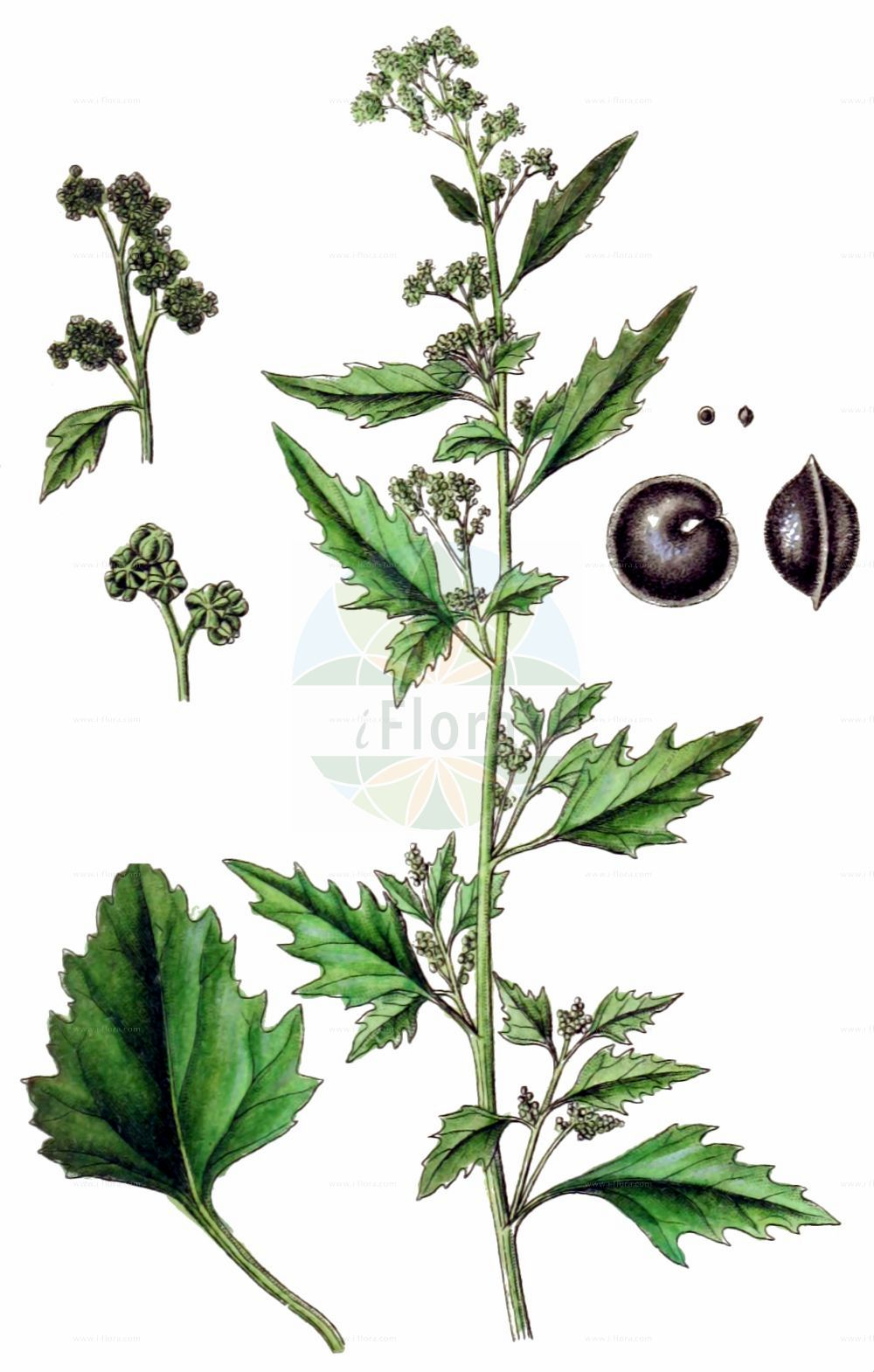 Historische Abbildung von Chenopodiastrum murale (Mauer-Gaensefuss - Nettle-leaved Goosefoot). Das Bild zeigt Blatt, Bluete, Frucht und Same. ---- Historical Drawing of Chenopodiastrum murale (Mauer-Gaensefuss - Nettle-leaved Goosefoot).The image is showing leaf, flower, fruit and seed.(Chenopodiastrum murale,Mauer-Gaensefuss,Nettle-leaved Goosefoot,Chenopodiastrum murale,Chenopodium murale,Mauer-Gaensefuss,Nettle-leaved Goosefoot,Nettle-leaf Goosefoot,Nettle-leaved Fat-Hen,Wall Goosefoot,Chenopodiastrum,Amaranthaceae,Fuchsschwanzgewaechse,Pigweed family,Blatt,Bluete,Frucht,Same,leaf,flower,fruit,seed,Sturm (1796f))