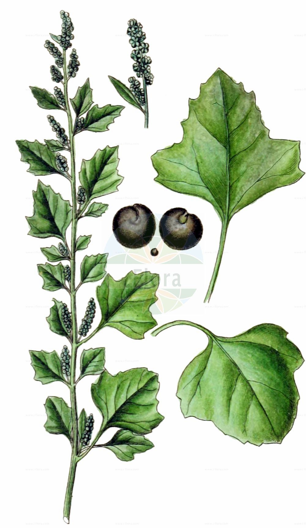 Historische Abbildung von Chenopodium opulifolium (Schneeballblaettriger Gaensefuss - Grey Goosefoot). Das Bild zeigt Blatt, Bluete, Frucht und Same. ---- Historical Drawing of Chenopodium opulifolium (Schneeballblaettriger Gaensefuss - Grey Goosefoot).The image is showing leaf, flower, fruit and seed.(Chenopodium opulifolium,Schneeballblaettriger Gaensefuss,Grey Goosefoot,Chenopodium opulifolium,Schneeballblaettriger Gaensefuss,Grey Goosefoot,Seaport Goosefoot,Round-leaved Goosefoot,Chenopodium,Gaensefuss,Goosefoot,Amaranthaceae,Fuchsschwanzgewaechse,Pigweed family,Blatt,Bluete,Frucht,Same,leaf,flower,fruit,seed,Sturm (1796f))