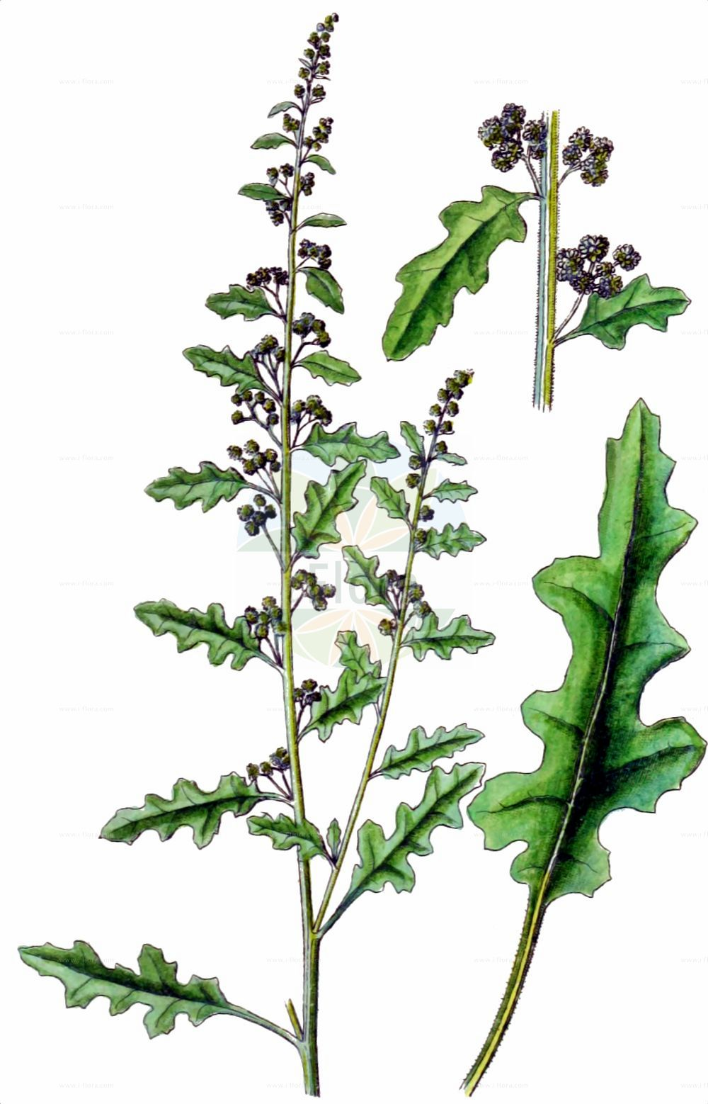 Historische Abbildung von Dysphania botrys (Klebriger Druesengaensefuss - Sticky Goosefoot). Das Bild zeigt Blatt, Bluete, Frucht und Same. ---- Historical Drawing of Dysphania botrys (Klebriger Druesengaensefuss - Sticky Goosefoot).The image is showing leaf, flower, fruit and seed.(Dysphania botrys,Klebriger Druesengaensefuss,Sticky Goosefoot,Chenopodium botrys,Dysphania botrys,Klebriger Druesengaensefuss,Druesen-Gaensefuss,Klebriger Gaensefuss,Sticky Goosefoot,Jerusalem-oak Goosefoot,Dysphania,Druesengaensefuss,Goosefoot,Amaranthaceae,Fuchsschwanzgewaechse,Pigweed family,Blatt,Bluete,Frucht,Same,leaf,flower,fruit,seed,Sturm (1796f))