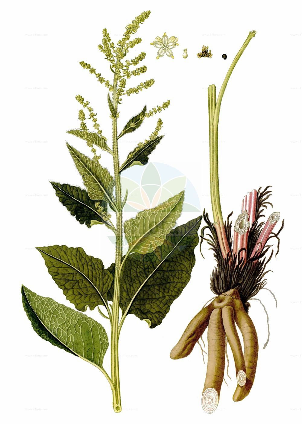 Historische Abbildung von Beta trigyna. Das Bild zeigt Blatt, Bluete, Frucht und Same. ---- Historical Drawing of Beta trigyna.The image is showing leaf, flower, fruit and seed.(Beta trigyna,Beta hybrida,Beta intermedia,Beta trigyna,Beta,Ruebe,Beet,Amaranthaceae,Fuchsschwanzgewaechse,Pigweed family,Blatt,Bluete,Frucht,Same,leaf,flower,fruit,seed,Waldstein-Wartenberg & Kitaibel (1799-1812))