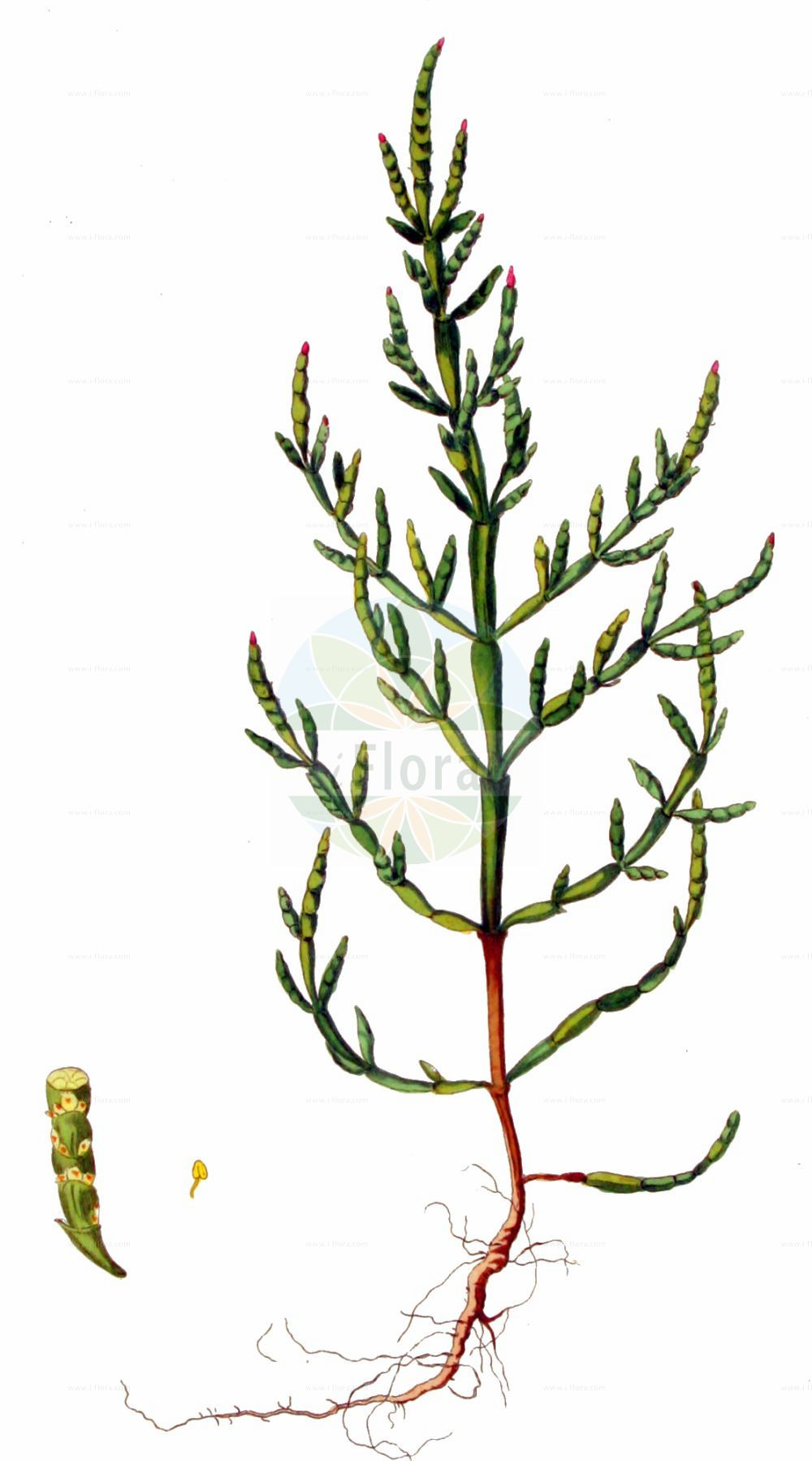 Historische Abbildung von Salicornia europaea (Europaeischer Queller - Common Glasswort). Das Bild zeigt Blatt, Bluete, Frucht und Same. ---- Historical Drawing of Salicornia europaea (Europaeischer Queller - Common Glasswort).The image is showing leaf, flower, fruit and seed.(Salicornia europaea,Europaeischer Queller,Common Glasswort,Salicornia annua,Salicornia europaea,Salicornia herbacea,Europaeischer Queller,Gewoehnlicher Queller,Kurzaehren-Queller,Queller,Common Glasswort,Purple Glasswort,Glaucous Glasswort,Red Swampfire,Slender Grasswort,Salicornia,Queller,Glassworts,Amaranthaceae,Fuchsschwanzgewaechse,Pigweed family,Blatt,Bluete,Frucht,Same,leaf,flower,fruit,seed,Kops (1800-1934))