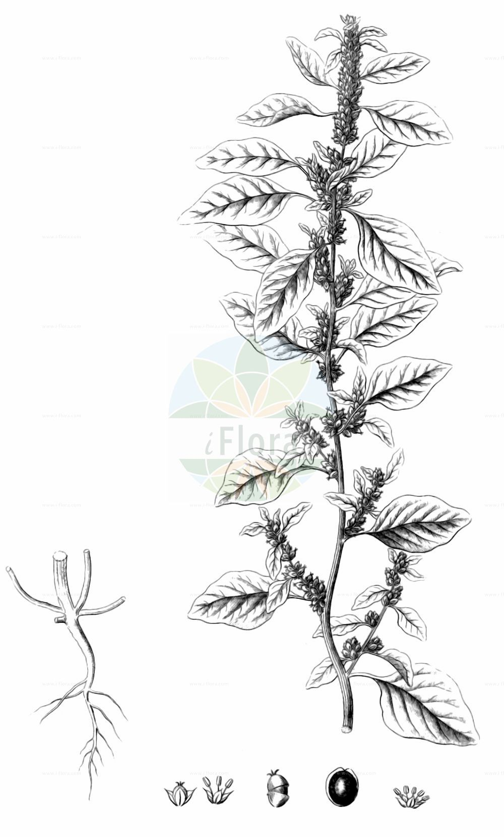 Historische Abbildung von Amaranthus graecizans (Griechischer Fuchsschwanz - Short-tepalled Pigweed). Das Bild zeigt Blatt, Bluete, Frucht und Same. ---- Historical Drawing of Amaranthus graecizans (Griechischer Fuchsschwanz - Short-tepalled Pigweed).The image is showing leaf, flower, fruit and seed.(Amaranthus graecizans,Griechischer Fuchsschwanz,Short-tepalled Pigweed,Amaranthus angustifolius,Amaranthus graecizans,Galliaria graecizans,Glomeraria graecizans,Griechischer Fuchsschwanz,Short-tepalled Pigweed,Mat Amaranth,Tumbleweed,Mediterranean Amaranth,Tumbling Pigweed,White Pigweed,Amaranthus,Fuchsschwanz,Pigweed,Amaranthaceae,Fuchsschwanzgewaechse,Pigweed family,Blatt,Bluete,Frucht,Same,leaf,flower,fruit,seed,Reichenbach (1823-1832))