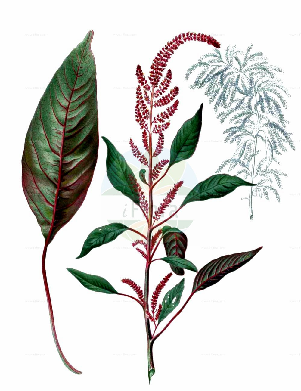 Historische Abbildung von Amaranthus cruentus. Das Bild zeigt Blatt, Bluete, Frucht und Same. ---- Historical Drawing of Amaranthus cruentus.The image is showing leaf, flower, fruit and seed.(Amaranthus cruentus,Amaranthus cruentus,Amaranthus paniculatus,Amaranthus paniculatus var. cruentus,Amaranthus,Fuchsschwanz,Pigweed,Amaranthaceae,Fuchsschwanzgewaechse,Pigweed family,Blatt,Bluete,Frucht,Same,leaf,flower,fruit,seed,Blanco (1837f))