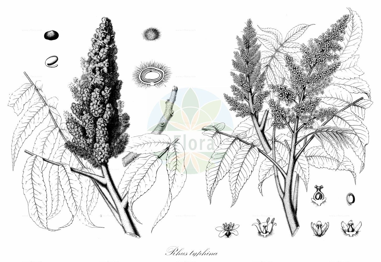 Historische Abbildung von Rhus typhina (Essigbaum - Stag's-horn Sumach). Das Bild zeigt Blatt, Bluete, Frucht und Same. ---- Historical Drawing of Rhus typhina (Essigbaum - Stag's-horn Sumach).The image is showing leaf, flower, fruit and seed. (Rhus typhina,Essigbaum,Stag's-horn Sumach,Rhus hirta,,Hirschkolben-Sumach,Hairy Sumac,Hairy Sumach,Staghorn Sumac,Staghorn Sumach,Vinegar Plant,Vinegar Tree,Virginia Sumac,Virginia Sumach,Rhus,Sumach,Sumac,Anacardiaceae,Kaschugewaechse;Pistaziengewaechse;Sumachgewaechse,Cashew family,Blatt,Bluete,Frucht,Same,leaf,flower,fruit,seed,Sargent (1898-1902))