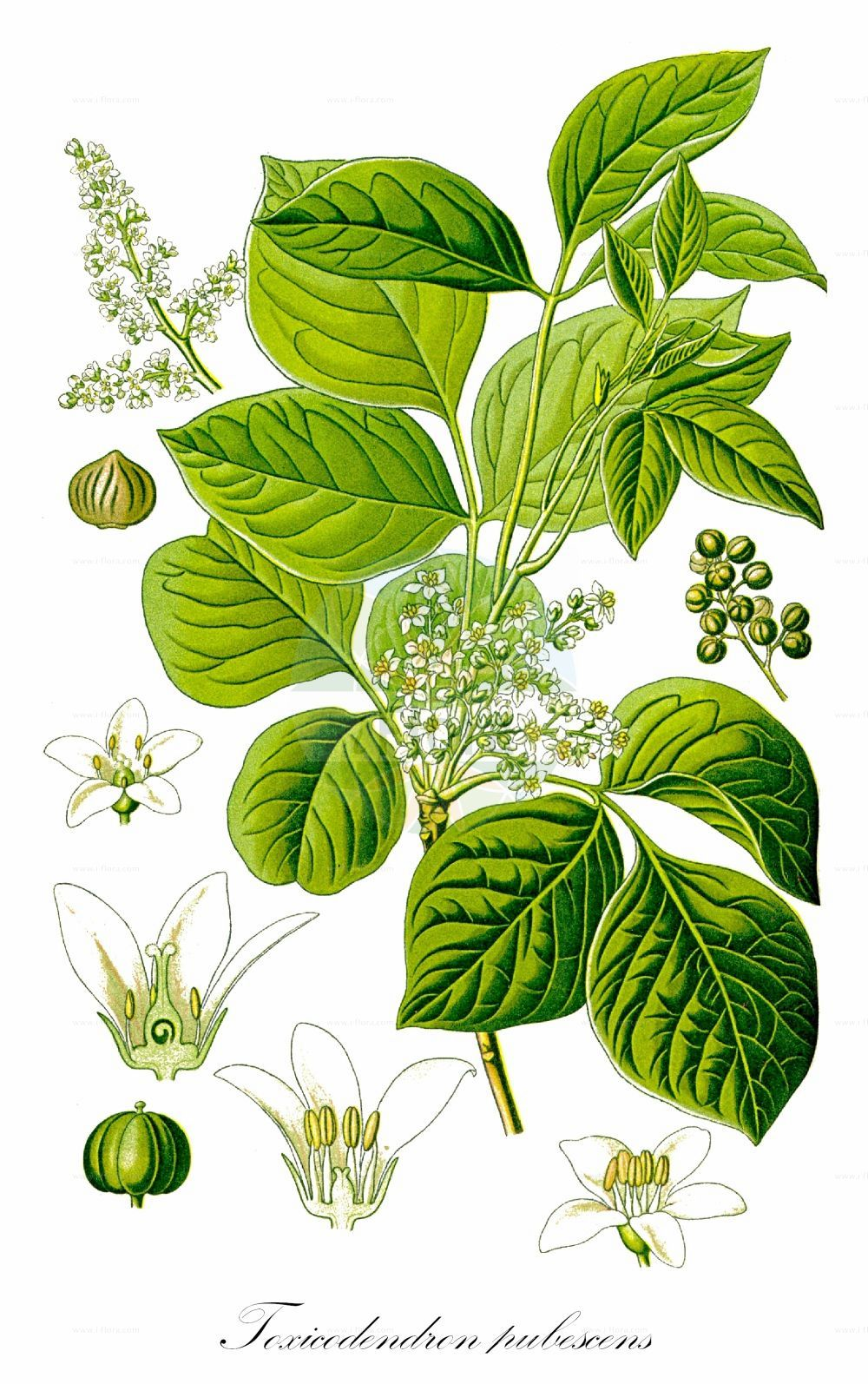 Historische Abbildung von Toxicodendron pubescens (Eichenblaettriger Giftsumach - Atlantic Poison Oak). Das Bild zeigt Blatt, Bluete, Frucht und Same. ---- Historical Drawing of Toxicodendron pubescens (Eichenblaettriger Giftsumach - Atlantic Poison Oak).The image is showing leaf, flower, fruit and seed. (Toxicodendron pubescens,Eichenblaettriger Giftsumach,Atlantic Poison Oak,Rhus,Rhus toxicodendron,,Behaarter Gift-Sumach,Poison Oak,Poison Ivy,Toxicodendron,Giftsumach,Poison Oak,Anacardiaceae,Kaschugewaechse;Pistaziengewaechse;Sumachgewaechse,Cashew family,Blatt,Bluete,Frucht,Same,leaf,flower,fruit,seed,Thomé (1885))