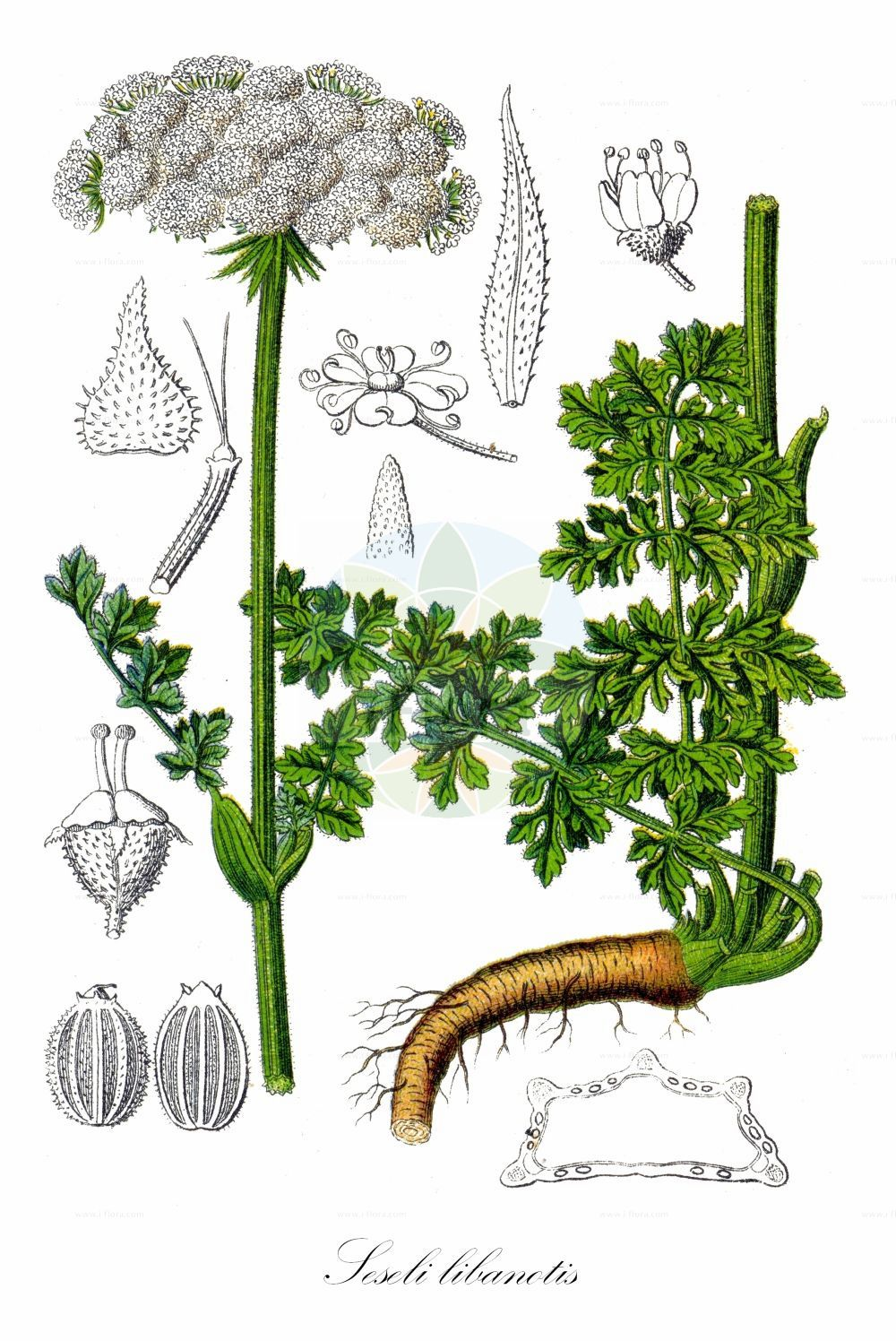 Historische Abbildung von Seseli libanotis (Heilwurz - Moon Carrot). ---- Historical Drawing of Seseli libanotis (Heilwurz - Moon Carrot). (Seseli libanotis,Heilwurz,Moon Carrot,Ammi daucifolium,Athamanta libanotis,Athamanta sibirica,Crithmum pyrenaicum,Libanotis daucifolia,Libanotis intermedia,Libanotis montana,Libanotis pyrenaica,Seseli sibiricum,Berg-Hirschheil-Bergfenchel,Seseli,Sesel,Cicely,Apiaceae,Doldengewaechse,Carrot family,Sturm (1796f))