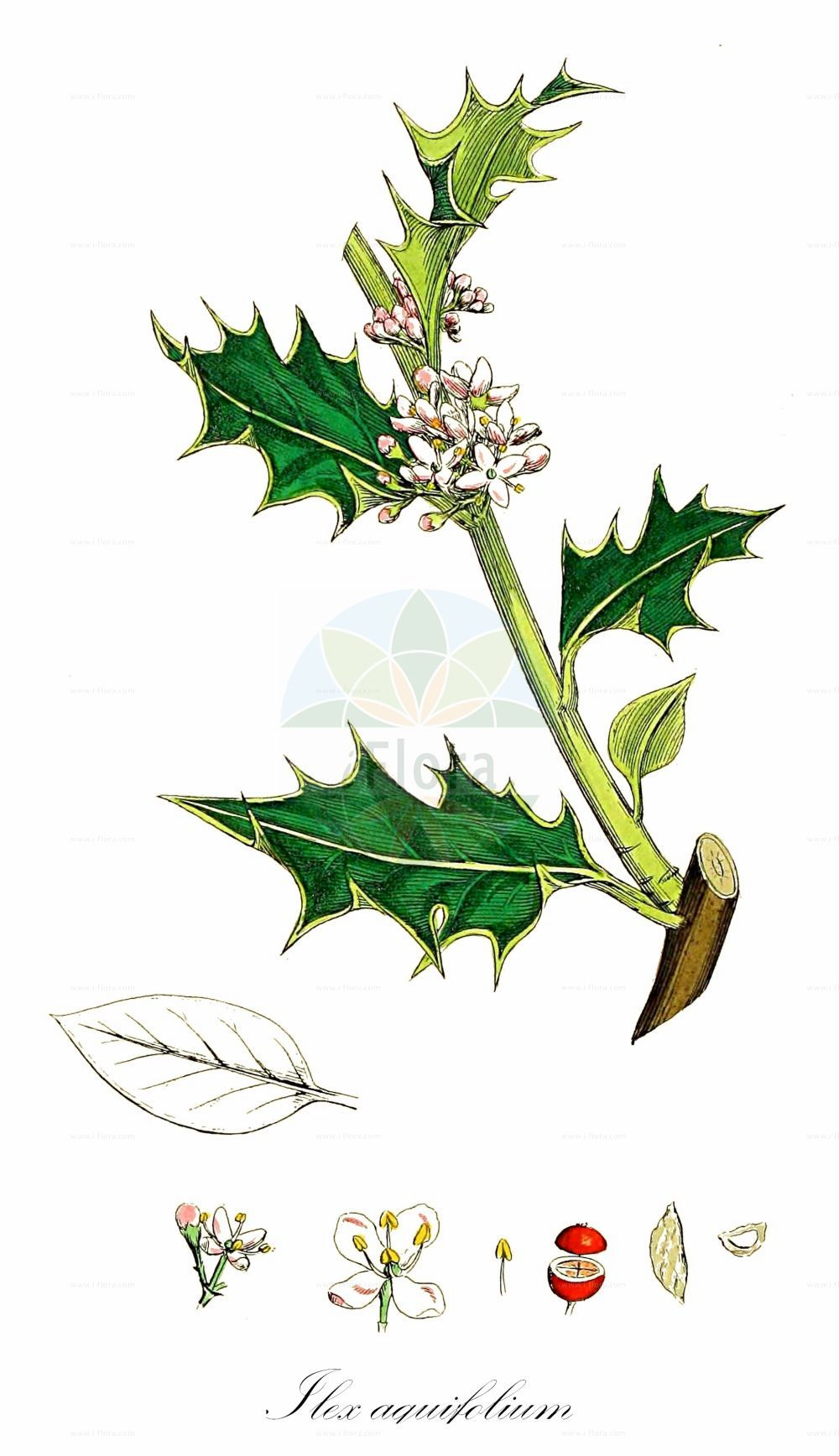 Historische Abbildung von Ilex aquifolium (Europaeische Stechpalme - Holly). Das Bild zeigt Blatt, Bluete, Frucht und Same. ---- Historical Drawing of Ilex aquifolium (Europaeische Stechpalme - Holly).The image is showing leaf, flower, fruit and seed.(Ilex aquifolium,Europaeische Stechpalme,Holly,Aquifolium ilex,Ilex balearica,Gewoehnliche Stechpalme,Huelse,European Common English Variegated ,Ilex,Stechpalme,Holly,Aquifoliaceae,Stechpalmengewaechse,Holly family,Blatt,Bluete,Frucht,Same,leaf,flower,fruit,seed,Sowerby (1790-1813))