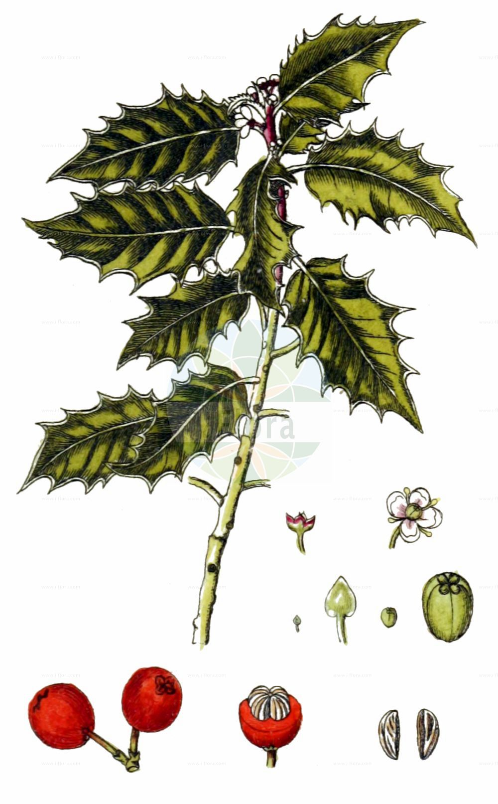 Historische Abbildung von Ilex aquifolium (Europaeische Stechpalme - Holly). Das Bild zeigt Blatt, Bluete, Frucht und Same. ---- Historical Drawing of Ilex aquifolium (Europaeische Stechpalme - Holly).The image is showing leaf, flower, fruit and seed.(Ilex aquifolium,Europaeische Stechpalme,Holly,Aquifolium ilex,Ilex aquifolium,Ilex balearica,Europaeische Stechpalme,Gewoehnliche Stechpalme,Huelse,Holly,European Holly,Common Holly,English Holly,Variegated Holly,Ilex,Stechpalme,Holly,Aquifoliaceae,Stechpalmengewaechse,Holly family,Blatt,Bluete,Frucht,Same,leaf,flower,fruit,seed,Sturm (1796f))