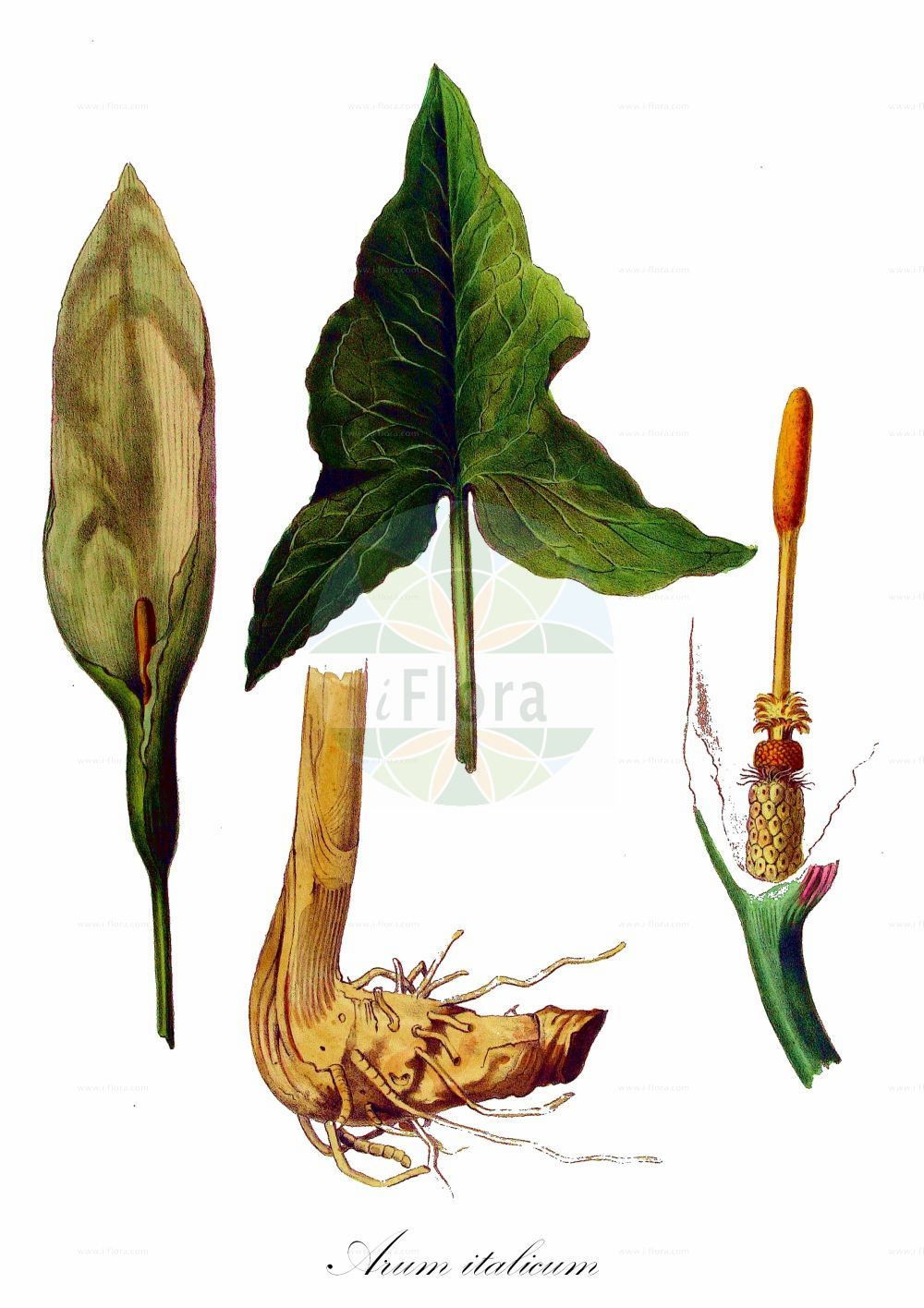 Historische Abbildung von Arum italicum. Das Bild zeigt Blatt, Bluete, Frucht und Same. ---- Historical Drawing of Arum italicum.The image is showing leaf, flower, fruit and seed. (Arum italicum,Arisarum italicum,Arum maculatum var. italicum,Arum,Aronstab,Arum Lily,Araceae,Aronstabgewaechse,Arum Lily family,Blatt,Bluete,Frucht,Same,leaf,flower,fruit,seed,Kops (1800-1934))