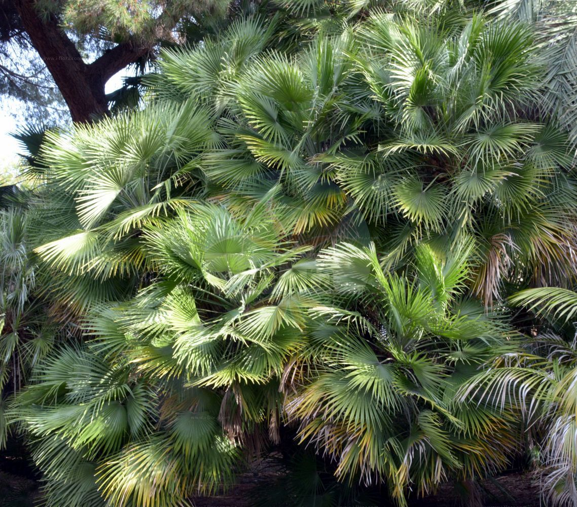 Foto von Chamaerops humilis. Das Bild zeigt Blatt. Das Foto wurde in San Remo, Liguria, Italien aufgenommen. ---- Photo of Chamaerops humilis.The image is showing leaf.The picture was taken in San Remo, Liguria, Italy. (Chamaerops humilis,Phoenix humilis,Chamaerops,Arecaceae,Palmengewaechse,Palm family,Blatt,leaf)