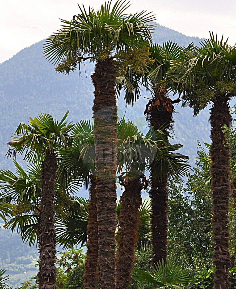 Foto von Trachycarpus fortunei (Chinesische Hanfpalme - Chusan Palm). Das Foto wurde in Meran, Suedtirol, Italien aufgenommen. ---- Photo of Trachycarpus fortunei (Chinesische Hanfpalme - Chusan Palm).The picture was taken in Meran, South-Tyrol, Italy. (Trachycarpus fortunei,Chinesische Hanfpalme,Chusan Palm,Chinese Windmill Palm,Chusan Fan Palm,Windmill Palm,Trachycarpus,Hanfpalme,Chinese Windmill Palm,Arecaceae,Palmengewaechse,Palm family)