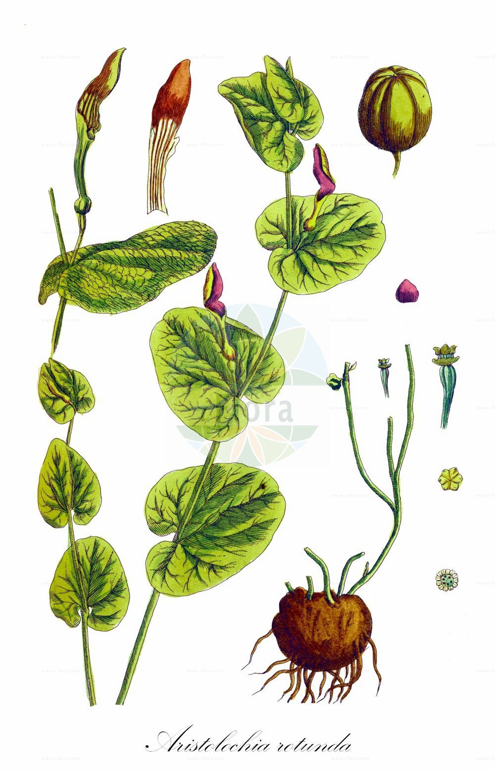 Historische Abbildung von Aristolochia rotunda. Das Bild zeigt Blatt, Bluete, Frucht und Same. ---- Historical Drawing of Aristolochia rotunda.The image is showing leaf, flower, fruit and seed.(Aristolochia rotunda,Aristolochia,Osterluzei,Birthwort,Aristolochiaceae,Osterluzeigewaechse,Birthwort family,Blatt,Bluete,Frucht,Same,leaf,flower,fruit,seed,Blackwell (1750-1773))