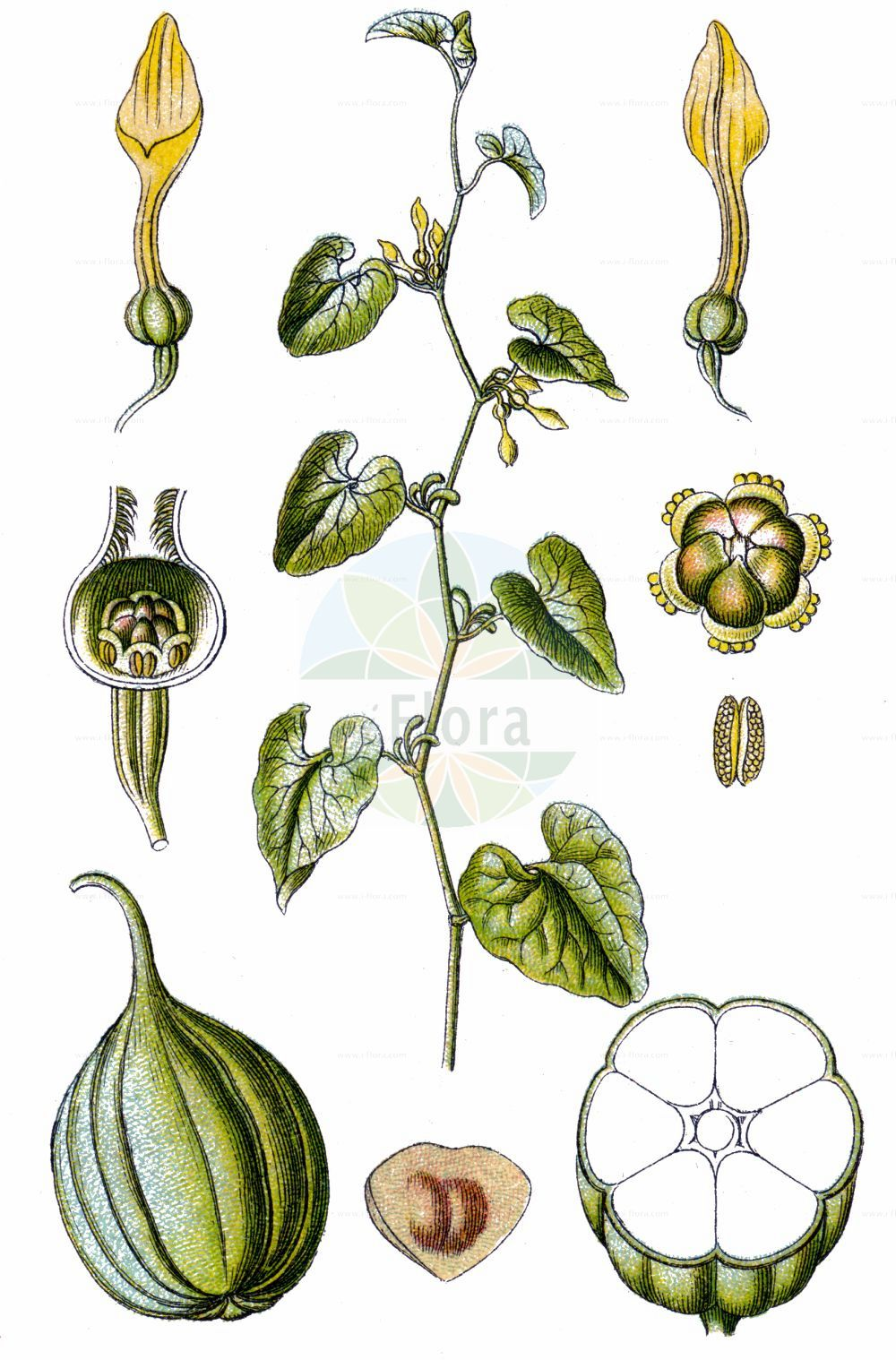 Historische Abbildung von Aristolochia clematitis (Gewoehnliche Osterluzei - Birthwort). Das Bild zeigt Blatt, Bluete, Frucht und Same. ---- Historical Drawing of Aristolochia clematitis (Gewoehnliche Osterluzei - Birthwort).The image is showing leaf, flower, fruit and seed.(Aristolochia clematitis,Gewoehnliche Osterluzei,Birthwort,Aristolochia clematitis,Aristolochia infesta,Gewoehnliche Osterluzei,Birthwort,Common Birthwort,Dutchman's Pipe,Aristolochia,Osterluzei,Birthwort,Aristolochiaceae,Osterluzeigewaechse,Birthwort family,Blatt,Bluete,Frucht,Same,leaf,flower,fruit,seed,Sturm (1796f))