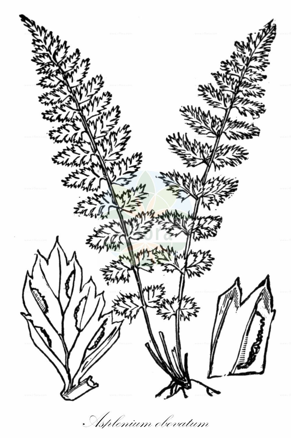 Historische Abbildung von Asplenium obovatum (Lanzettblaettriger Streifenfarn - Lanceolate Spleenwort). Das Bild zeigt Blatt, Bluete, Frucht und Same. ---- Historical Drawing of Asplenium obovatum (Lanzettblaettriger Streifenfarn - Lanceolate Spleenwort).The image is showing leaf, flower, fruit and seed. (Asplenium obovatum,Lanzettblaettriger Streifenfarn,Lanceolate Spleenwort,Asplenium,Streifenfarn,Spleenwort,Aspleniaceae,Streifenfarngewaechse,Spleenworts,Blatt,Bluete,Frucht,Same,leaf,flower,fruit,seed,Fitch et al. (1880))