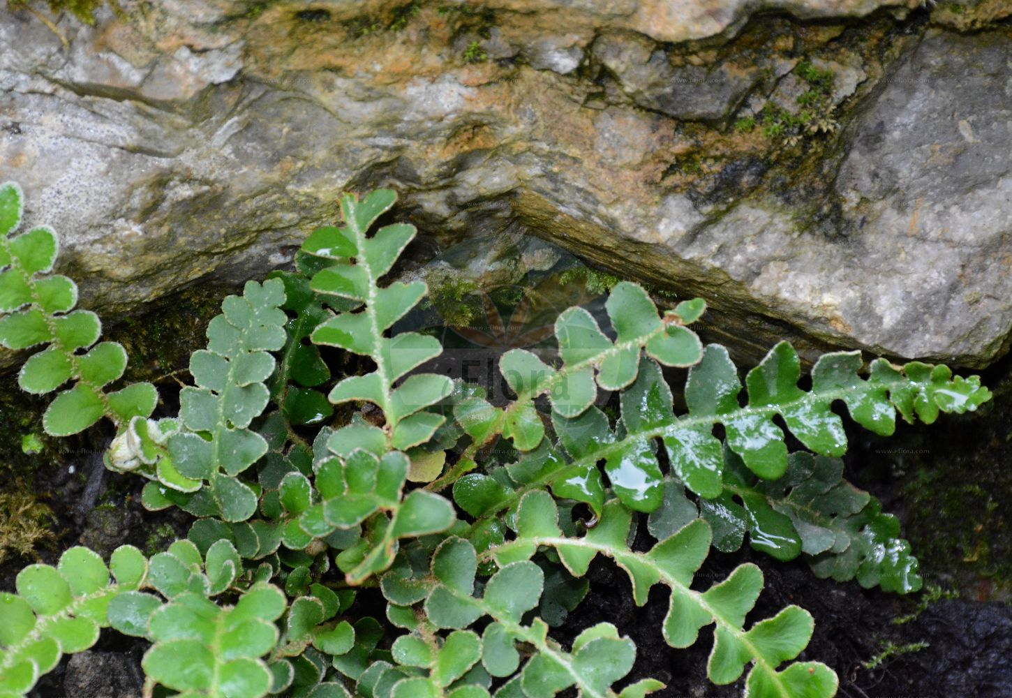 Foto von Asplenium ceterach (Schriftfarn - Rustyback). Das Foto wurde in Muenster, Nordrhein-Westfalen, Deutschland aufgenommen. ---- Photo of Asplenium ceterach (Schriftfarn - Rustyback).The picture was taken in Muenster, North Rhine-Westphalia, Germany. (Asplenium ceterach,Schriftfarn,Rustyback,Ceterach officinarum,Ceterach vulgare,Grammitis ceterach,Rusty-back Fern,Scale Fern,Scaly Spleenwort,Asplenium,Streifenfarn,Spleenwort,Aspleniaceae,Streifenfarngewaechse,Spleenworts)