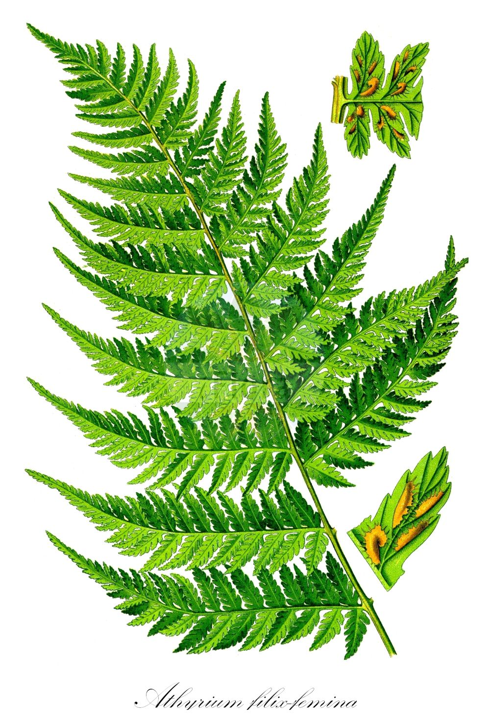 Historische Abbildung von Athyrium filix-femina (Wald-Frauenfarn - Lady-fern). Das Bild zeigt Blatt, Bluete, Frucht und Same. ---- Historical Drawing of Athyrium filix-femina (Wald-Frauenfarn - Lady-fern).The image is showing leaf, flower, fruit and seed. (Athyrium filix-femina,Wald-Frauenfarn,Lady-fern,Asplenium filix-femina,Asplenium rhaeticum,Athyrium azoricum,Polypodium axillare,Polypodium filix-femina,Polypodium rhaeticum,Common Woodland Lady Fern,Athyrium,Frauenfarn,Lady-fern,Athyriaceae,Lady-Fern family,Frauenfarngewaechse,Blatt,Bluete,Frucht,Same,leaf,flower,fruit,seed,Thomé (1885))