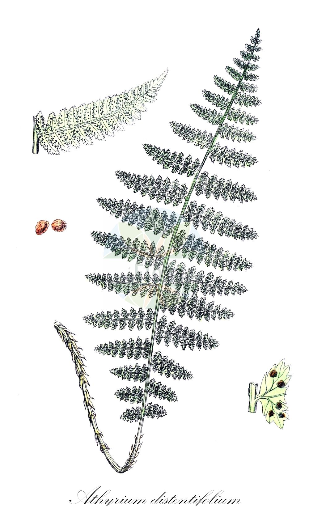 Historische Abbildung von Athyrium distentifolium (Gebirgs-Frauenfarn - Alpine Lady-fern). Das Bild zeigt Blatt, Bluete, Frucht und Same. ---- Historical Drawing of Athyrium distentifolium (Gebirgs-Frauenfarn - Alpine Lady-fern).The image is showing leaf, flower, fruit and seed. (Athyrium distentifolium,Gebirgs-Frauenfarn,Alpine Lady-fern,Aspidium alpestre,Athyrium flexile,Pseudathyrium flexile,Athyrium alpestre,Athyrium,Frauenfarn,Lady-fern,Athyriaceae,Lady-Fern family,Frauenfarngewaechse,Blatt,Bluete,Frucht,Same,leaf,flower,fruit,seed,Sowerby (1790-1813))