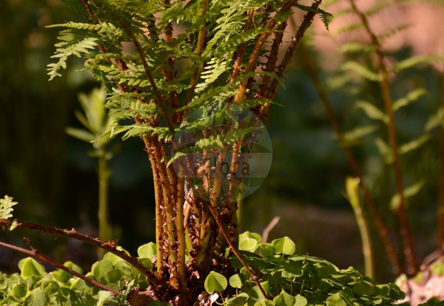 Foto von Athyrium filix-femina (Wald-Frauenfarn - Lady-fern). Das Foto wurde in Marburg, Hessen, Deutschland aufgenommen. ---- Photo of Athyrium filix-femina (Wald-Frauenfarn - Lady-fern).The picture was taken in Marburg, Hesse, Germany. (Athyrium filix-femina,Wald-Frauenfarn,Lady-fern,Asplenium filix-femina,Asplenium rhaeticum,Athyrium azoricum,Polypodium axillare,Polypodium filix-femina,Polypodium rhaeticum,Common Woodland Lady Fern,Athyrium,Frauenfarn,Lady-fern,Athyriaceae,Lady-Fern family,Frauenfarngewaechse)