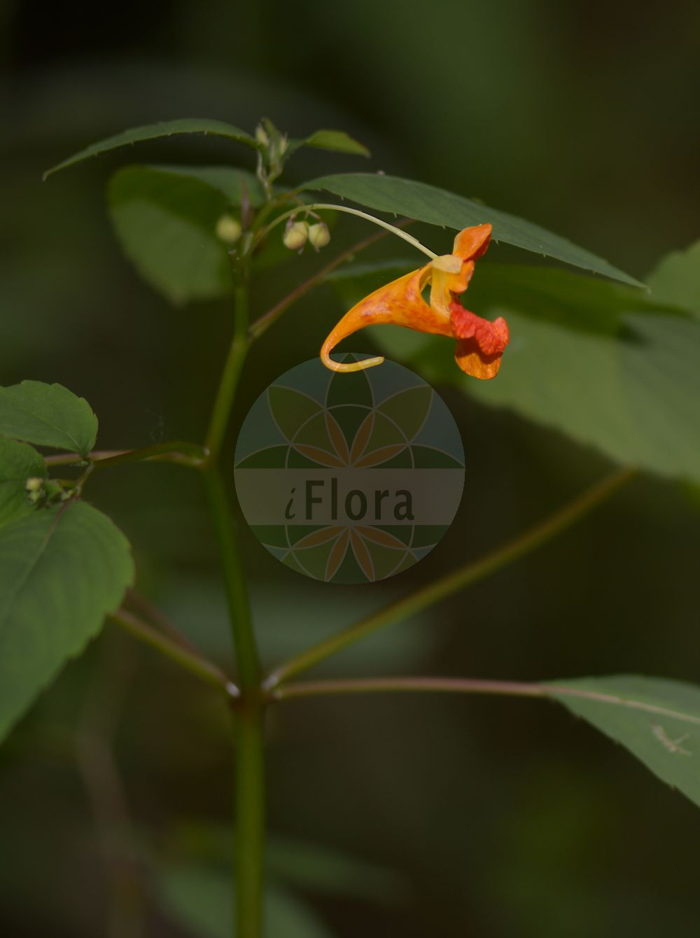 Foto von Impatiens capensis (Orangerotes Springkraut - Orange Balsam). Das Bild zeigt Blatt und Bluete. Das Foto wurde in Heuchelheim, Giessen, Hessen, Deutschland, Wetterau und Giessener Becken aufgenommen. ---- Photo of Impatiens capensis (Orangerotes Springkraut - Orange Balsam).The image is showing leaf and flower.The picture was taken in Heuchelheim, Giessen, Hesse, Germany, Wetterau and Giessener Becken.(Impatiens capensis,Orangerotes Springkraut,Orange Balsam,Impatiens biflora,Impatiens fulva,Touch-me-Not,Jewelweed,Common Jewelweed,Orange Jewelweed,Spotted Snapweed,Impatiens,Springkraut,Touch-me-Not,Balsaminaceae,Springkrautgewaechse,Balsam family,Blatt,Bluete,leaf,flower)