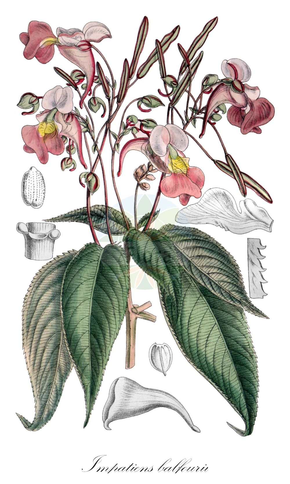 Historische Abbildung von Impatiens balfourii. Das Bild zeigt Blatt, Bluete, Frucht und Same. ---- Historical Drawing of Impatiens balfourii.The image is showing leaf, flower, fruit and seed.(Impatiens balfourii,Impatiens,Springkraut,Touch-me-Not,Balsaminaceae,Springkrautgewaechse,Balsam family,Blatt,Bluete,Frucht,Same,leaf,flower,fruit,seed,Smith (1854-1926))