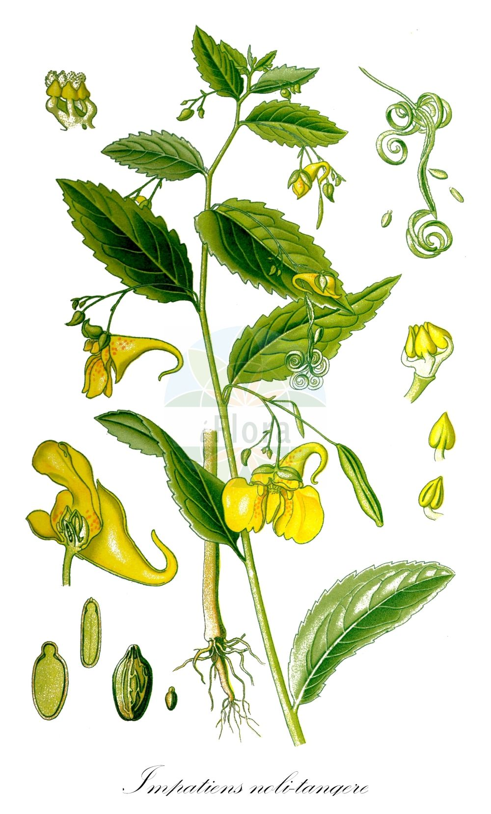 Historische Abbildung von Impatiens noli-tangere (Grosses Springkraut - Touch-me-Not Balsam). Das Bild zeigt Blatt, Bluete, Frucht und Same. ---- Historical Drawing of Impatiens noli-tangere (Grosses Springkraut - Touch-me-Not Balsam).The image is showing leaf, flower, fruit and seed.(Impatiens noli-tangere,Grosses Springkraut,Touch-me-Not Balsam,Echtes Springkraut,Ruehr-mich-nicht-an,Wald-Springkraut,Touch-me-Not,Western Touch-me-Not,Wild Balsam,Yellow Balsam,Impatiens,Springkraut,Touch-me-Not,Balsaminaceae,Springkrautgewaechse,Balsam family,Blatt,Bluete,Frucht,Same,leaf,flower,fruit,seed,Thomé (1885))