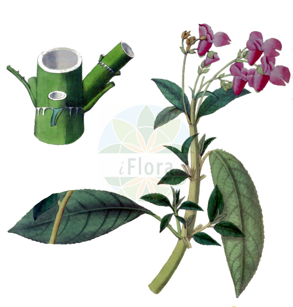 Historische Abbildung von Impatiens glandulifera (Druesiges Springkraut - Indian Balsam). Das Bild zeigt Blatt, Bluete, Frucht und Same. ---- Historical Drawing of Impatiens glandulifera (Druesiges Springkraut - Indian Balsam).The image is showing leaf, flower, fruit and seed.(Impatiens glandulifera,Druesiges Springkraut,Indian Balsam,Impatiens glandulifera,Impatiens roylei,Druesiges Springkraut,Druesen-Springkraut,Druesentragendes Springkraut,Indisches Springkraut,Indian Balsam,Himalayan Balsam,Ornamental Jewelweed,Policeman's Helmet,Impatiens,Springkraut,Touch-me-Not,Balsaminaceae,Springkrautgewaechse,Balsam family,Blatt,Bluete,Frucht,Same,leaf,flower,fruit,seed,Royle (1839))