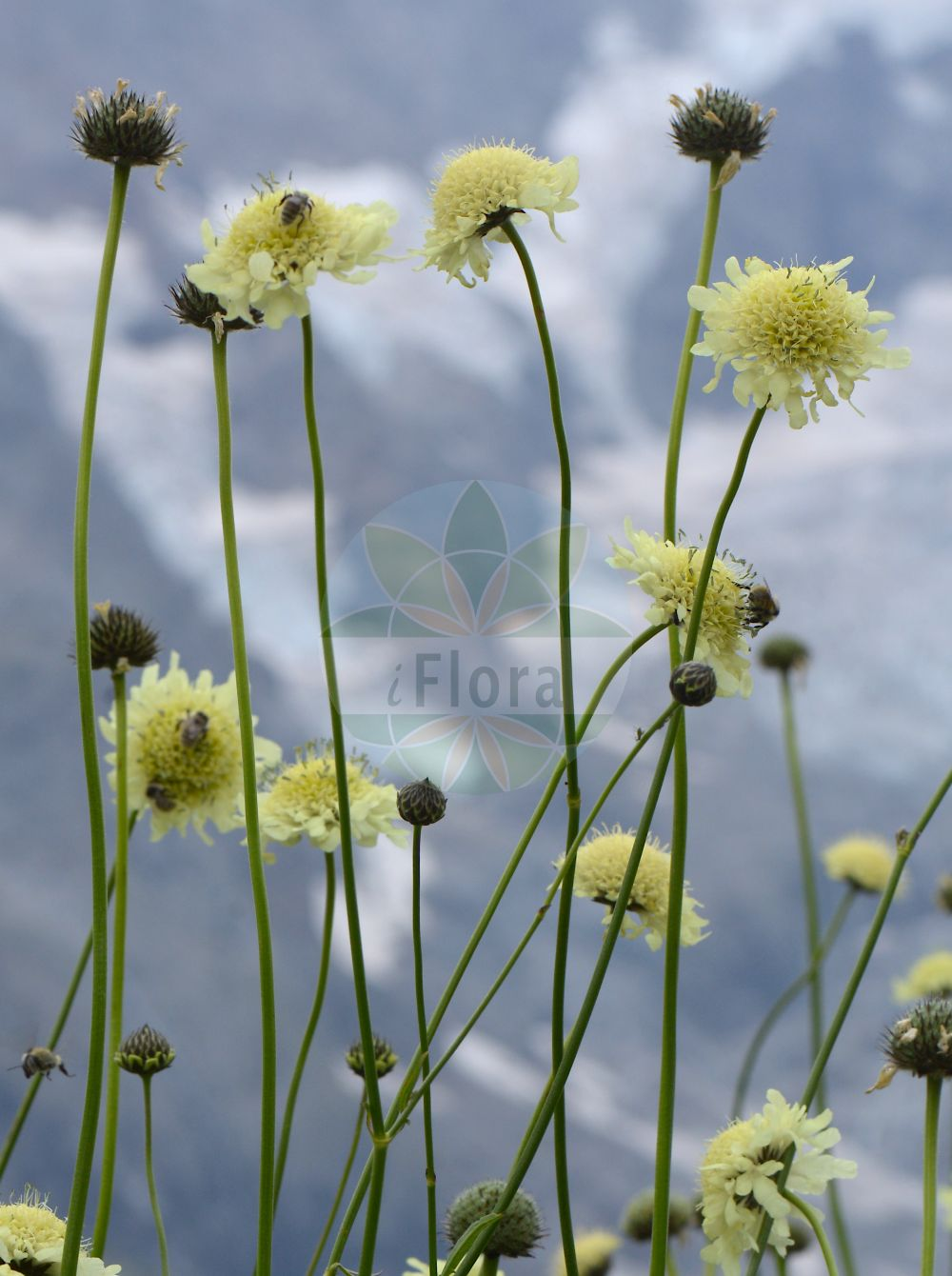 Foto von Cephalaria gigantea. Das Bild zeigt Blatt und Bluete. Das Foto wurde in Station Alpine Joseph Fourier, Col du Lautaret, Auvergne-Rhône-Alpes, Frankreich aufgenommen. ---- Photo of Cephalaria gigantea.The image is showing leaf and flower.The picture was taken in Station Alpine Joseph Fourier, Col du Lautaret, Auvergne-Rhône-Alpes, France.(Cephalaria gigantea,Cephalaria tatarica,Scabiosa gigantea,Cephalaria,Caprifoliaceae,Geissblattgewaechse,Honeysuckle family,Blatt,Bluete,leaf,flower)