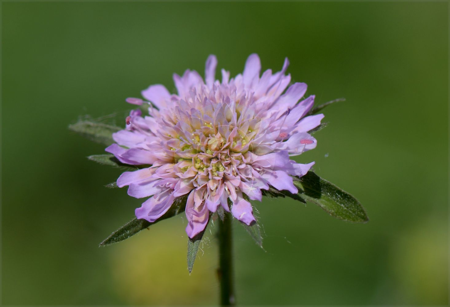 Foto von Knautia arvensis (Wiesen-Witwenblume - Field Scabious). Das Bild zeigt Bluete. Das Foto wurde in Heidelberg, Baden-Wuerttemberg, Deutschland aufgenommen. ---- Photo of Knautia arvensis (Wiesen-Witwenblume - Field Scabious).The image is showing flower.The picture was taken in Heidelberg, Baden-Wuerttemberg, Germany.(Knautia arvensis,Wiesen-Witwenblume,Field Scabious,Knautia avernica,Knautia boderei,Knautia borderei,Knautia catalaunica,Knautia timeroyi,Scabiosa arvensis,Scabiosa collina,Scabiosa dubia,Scabiosa polymorpha,Trichera arvensis,Trichera timeroyi,Kitaibels Witwenblume,Field Scabiosa,Knautia,Witwenblume,Scabious,Caprifoliaceae,Geissblattgewaechse,Honeysuckle family,Bluete,flower)