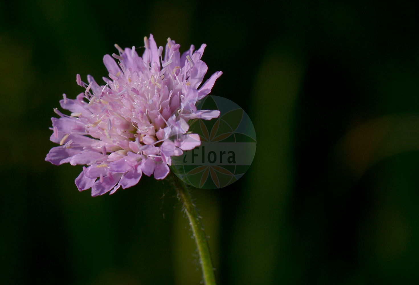 Foto von Knautia arvensis (Wiesen-Witwenblume - Field Scabious). Das Bild zeigt Bluete. Das Foto wurde in Leeheim, Riedstadt, Gross-Gerau, Hessen, Deutschland, Oberrheinisches Tiefland und Rhein-Main-Ebene aufgenommen. ---- Photo of Knautia arvensis (Wiesen-Witwenblume - Field Scabious).The image is showing flower.The picture was taken in Leeheim, Riedstadt, Gross-Gerau, Hesse, Germany, Oberrheinisches Tiefland and Rhein-Main-Ebene.(Knautia arvensis,Wiesen-Witwenblume,Field Scabious,Knautia avernica,Knautia boderei,Knautia borderei,Knautia catalaunica,Knautia timeroyi,Scabiosa arvensis,Scabiosa collina,Scabiosa dubia,Scabiosa polymorpha,Trichera arvensis,Trichera timeroyi,Kitaibels Witwenblume,Field Scabiosa,Knautia,Witwenblume,Scabious,Caprifoliaceae,Geissblattgewaechse,Honeysuckle family,Bluete,flower)