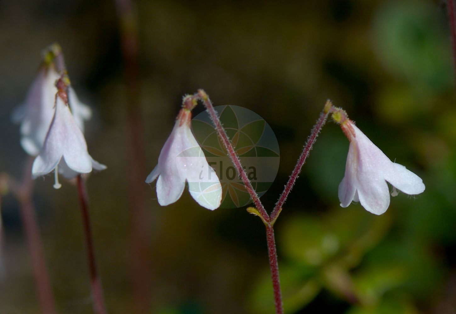 Foto von Linnaea borealis (Moosgloeckchen - Twinflower). Das Bild zeigt Bluete. Das Foto wurde in Goeteborg, Schweden aufgenommen. ---- Photo of Linnaea borealis (Moosgloeckchen - Twinflower).The image is showing flower.The picture was taken in Gothenburg, Sweden.(Linnaea borealis,Moosgloeckchen,Twinflower,Erdgloeckchen,Linnaea,Moosgloeckchen,Twinflower,Caprifoliaceae,Geissblattgewaechse,Honeysuckle family,Bluete,flower)